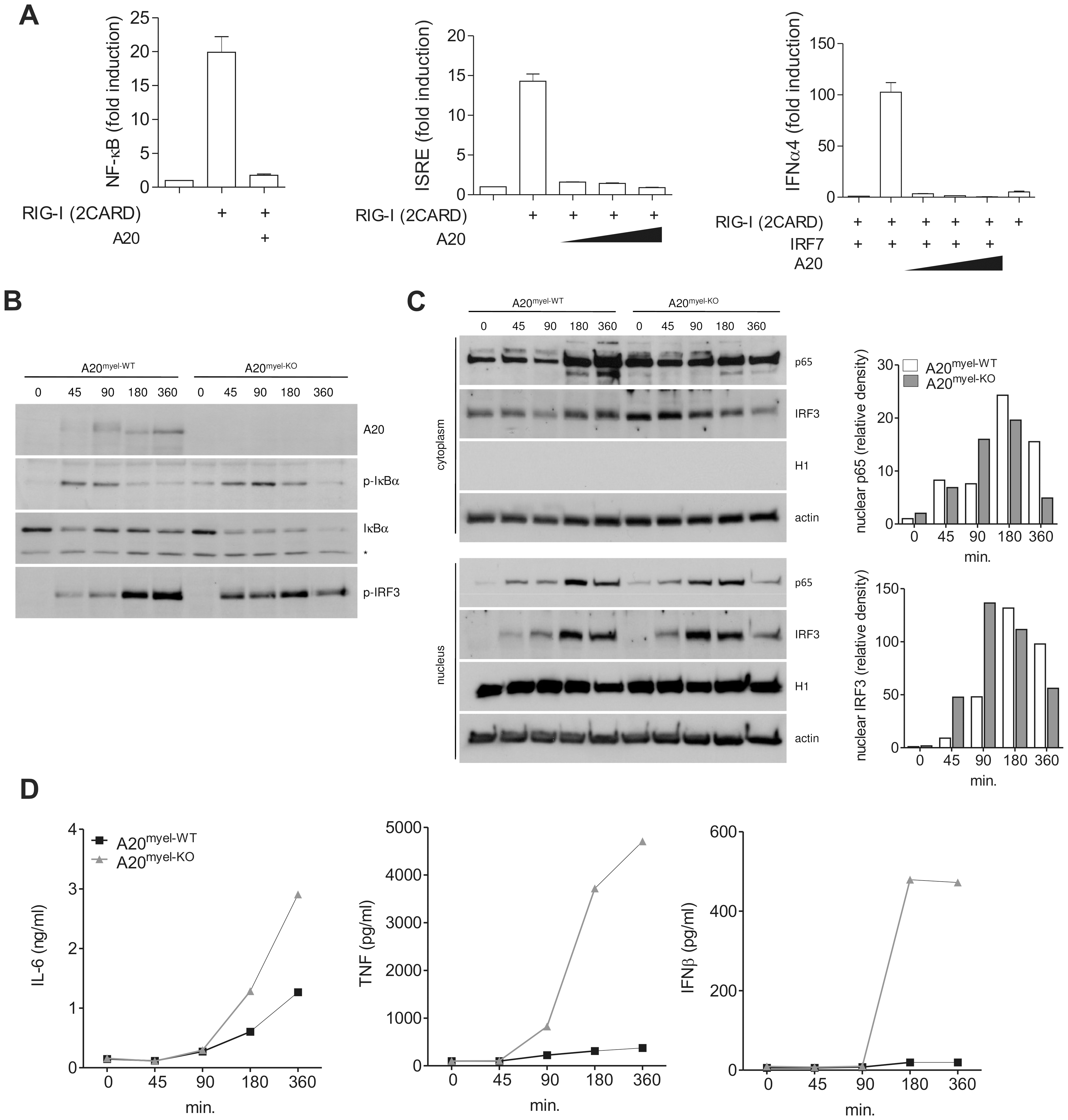 A20 inhibits NF-κB and IRF3 activation in response to RIG-I stimulation.