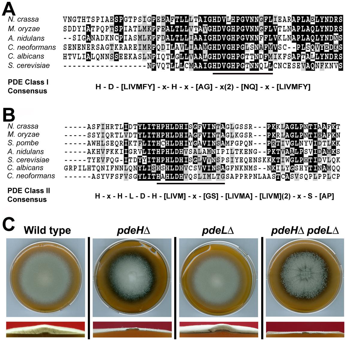 Identification and deletion analysis of cAMP phosphodiesterase genes in <i>M. oryzae</i>.