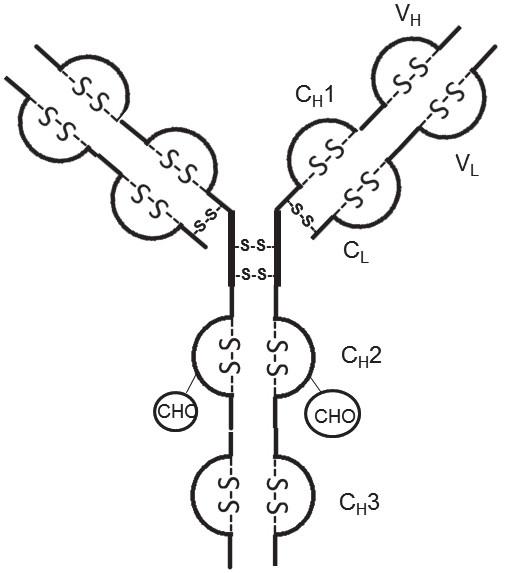 Fig. 1. Disulfide bonds and hinge
