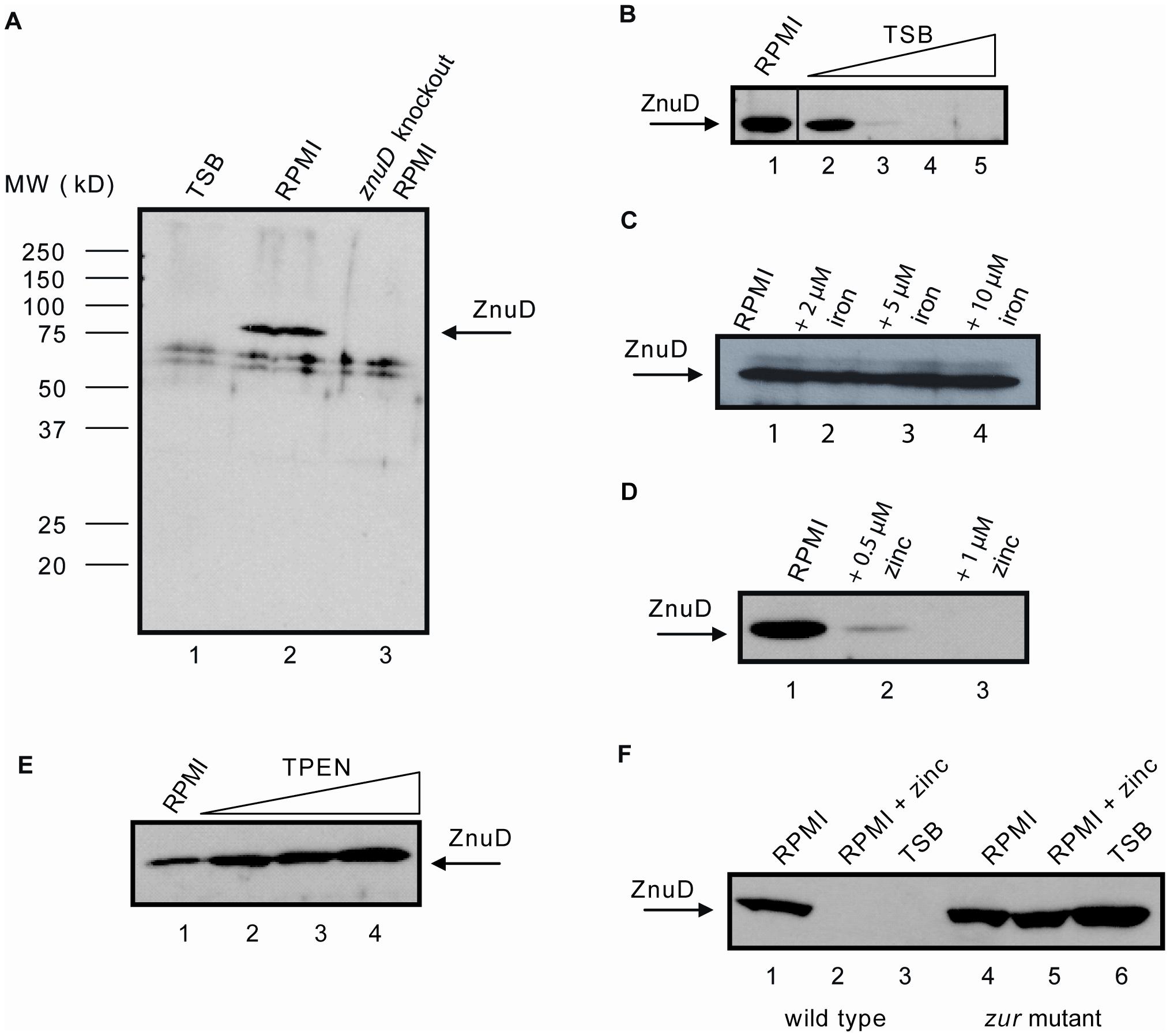 Regulation of <i>znuD</i> gene expression.