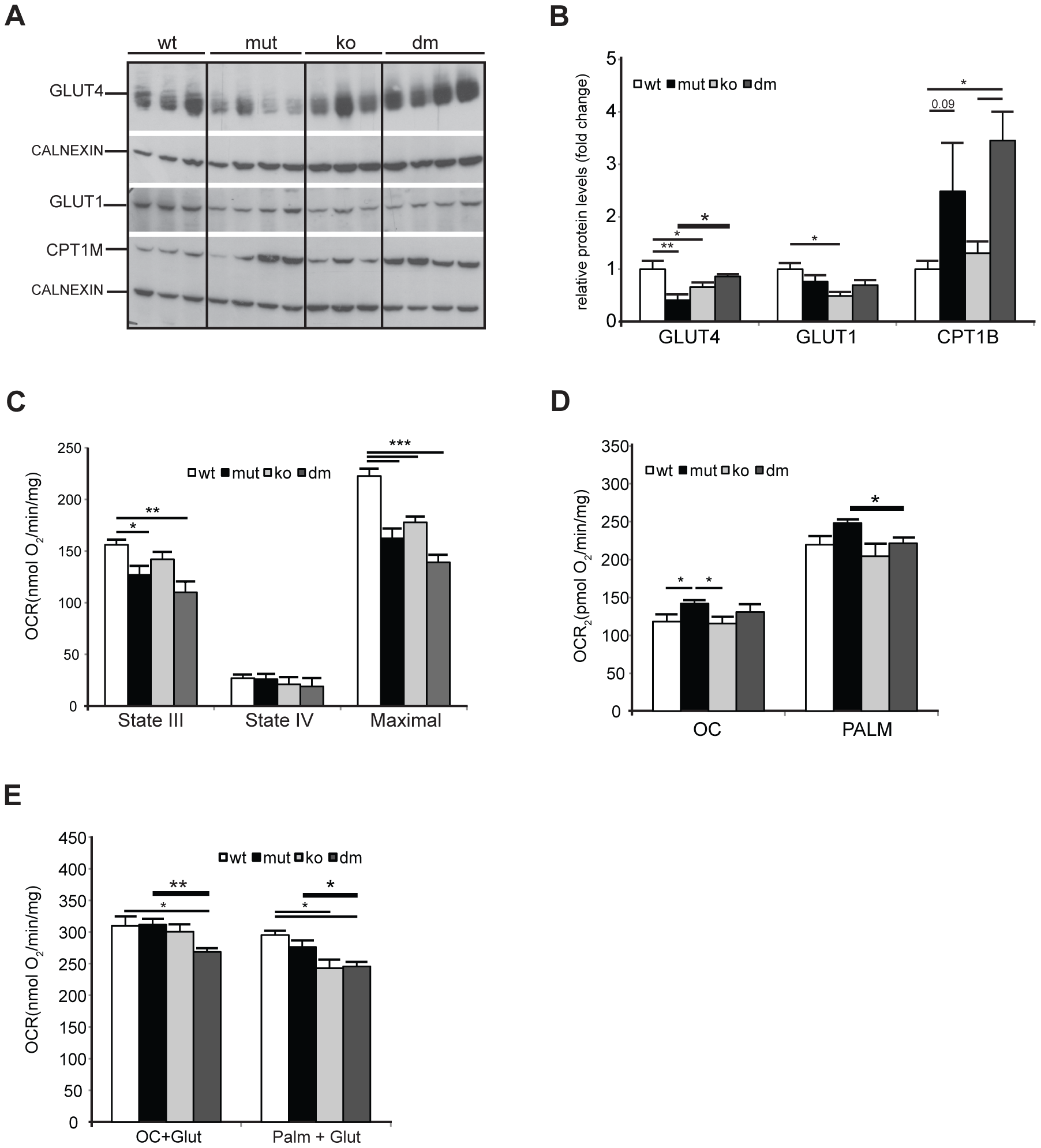 UCP2 promotes fatty acid oxidation in mtDNA mutator mitochondria.