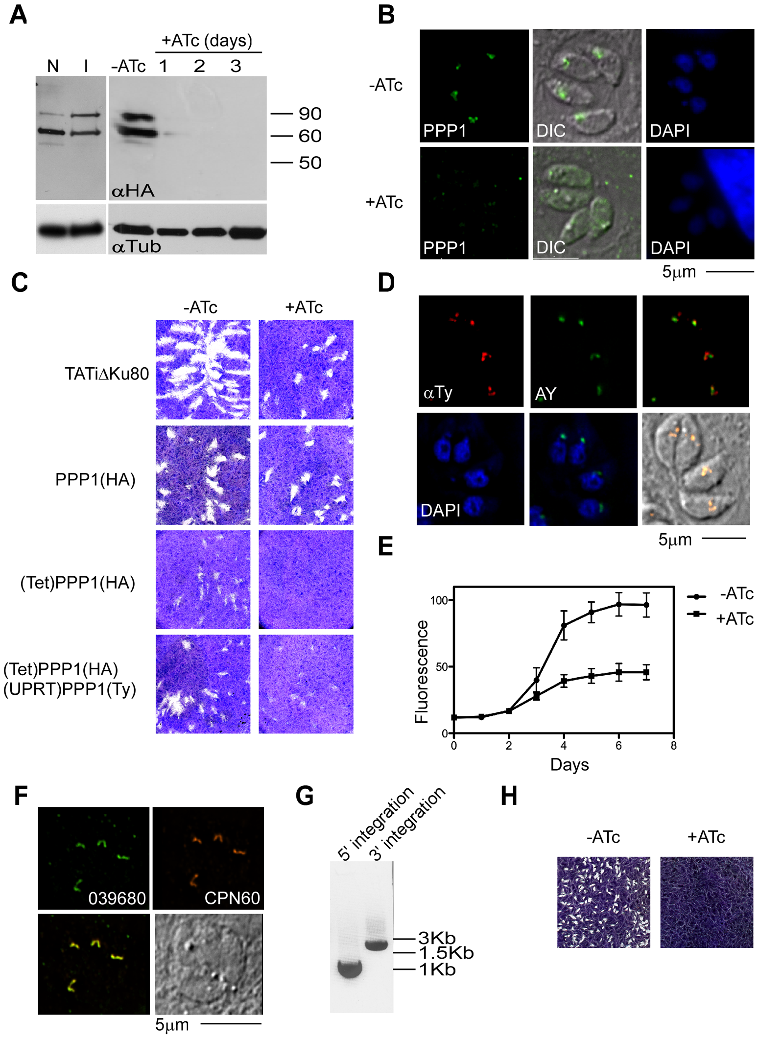 <i>PPP1</i> is essential for parasites growth.