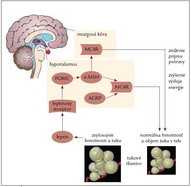 Úloha leptín-melanokortínovej osi pri regulácii telesnej hmotnosti [24].