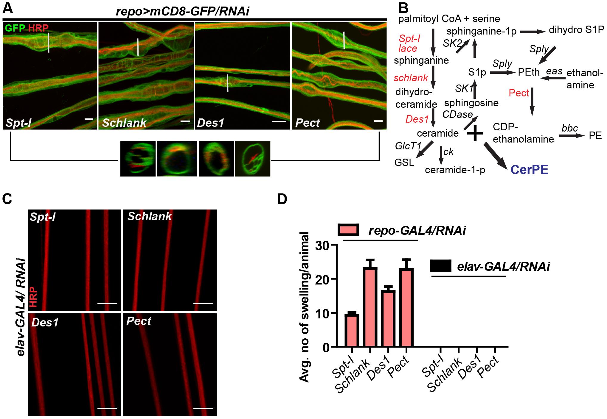 Glia require CerPE for axonal ensheathment.