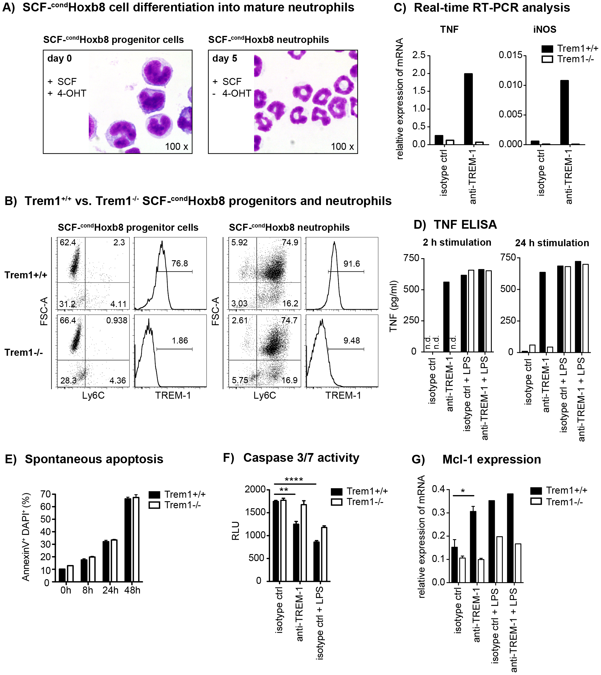 TREM-1 mediates TNF secretion and resistance to apoptosis in SCF-<sup>cond</sup>Hoxb8 progenitor-derived neutrophils.