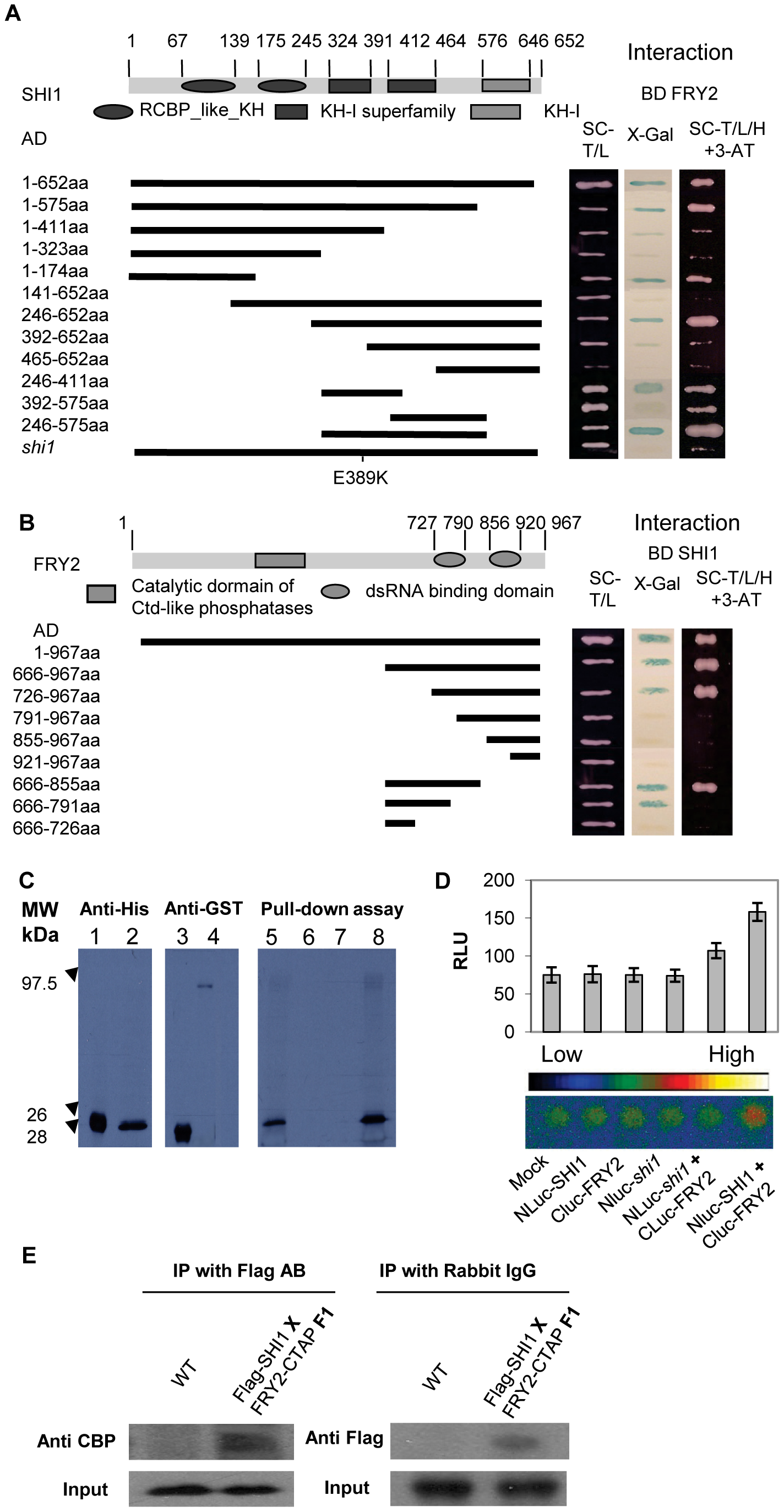 SHI1 and FRY2/CPL1 protein interaction analysis.