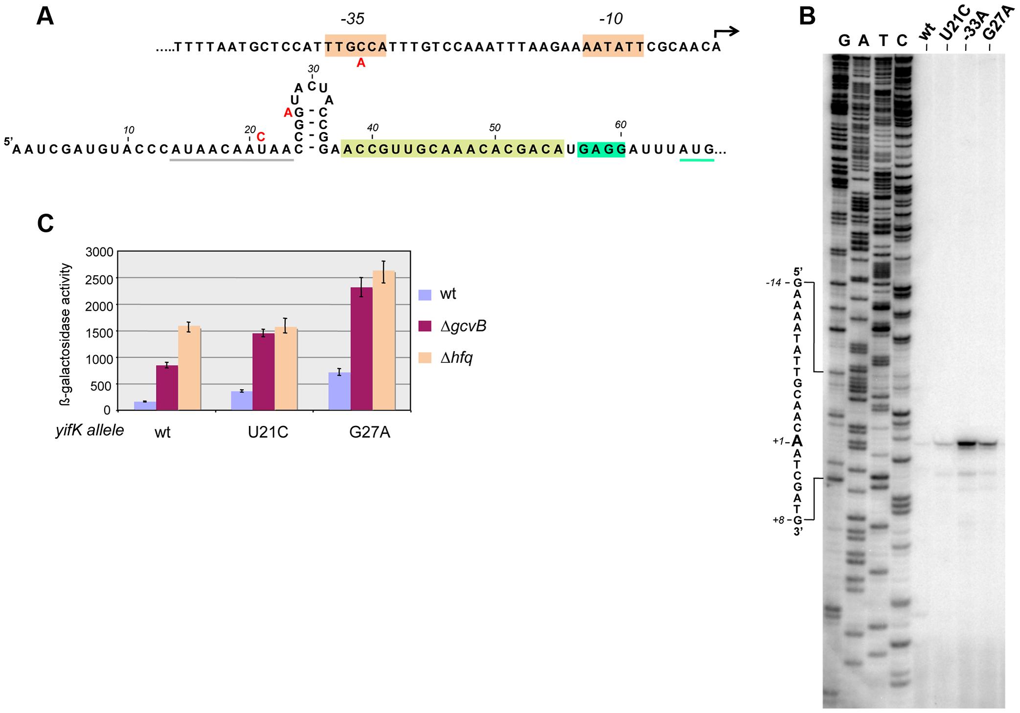 Characterization and mutational analysis of the leader region of the <i>yifK</i> gene.