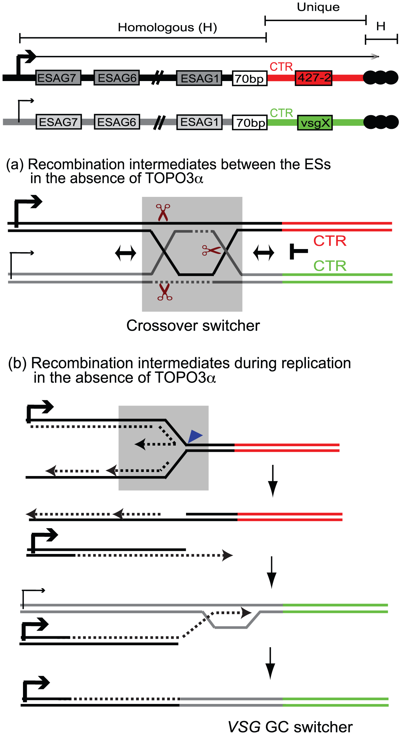 Mechanism of recombination-mediated antigenic switching and roles for TOPO3α.