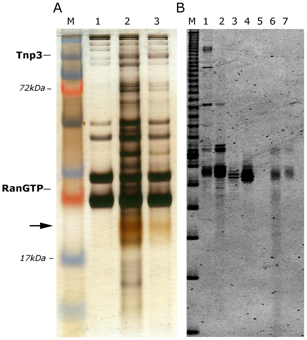 Tnp3 binds cellular tRNAs.