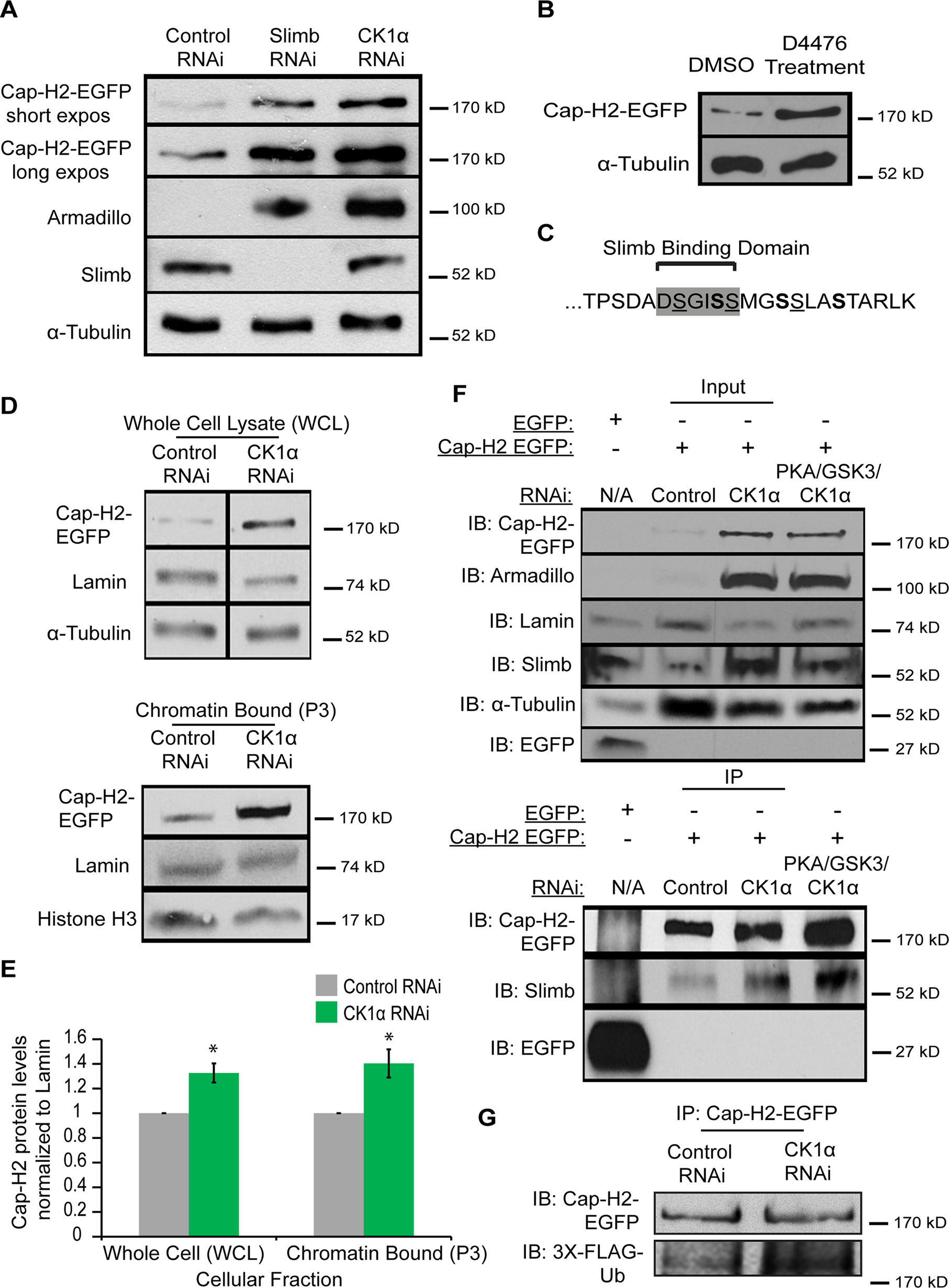 Cap-H2 degradation is CK1α dependent.
