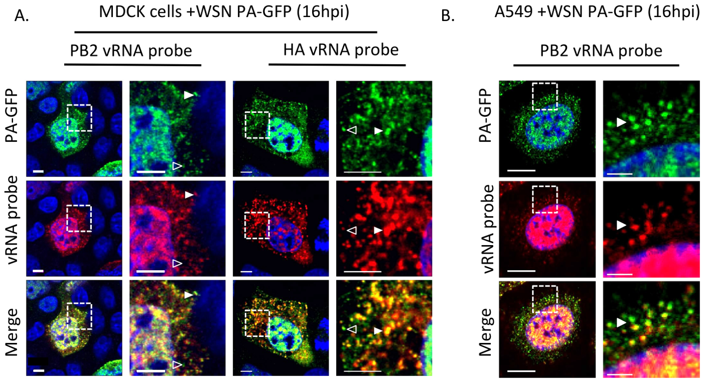 Colocalization of WSN PA-GFP and influenza vRNA segments.