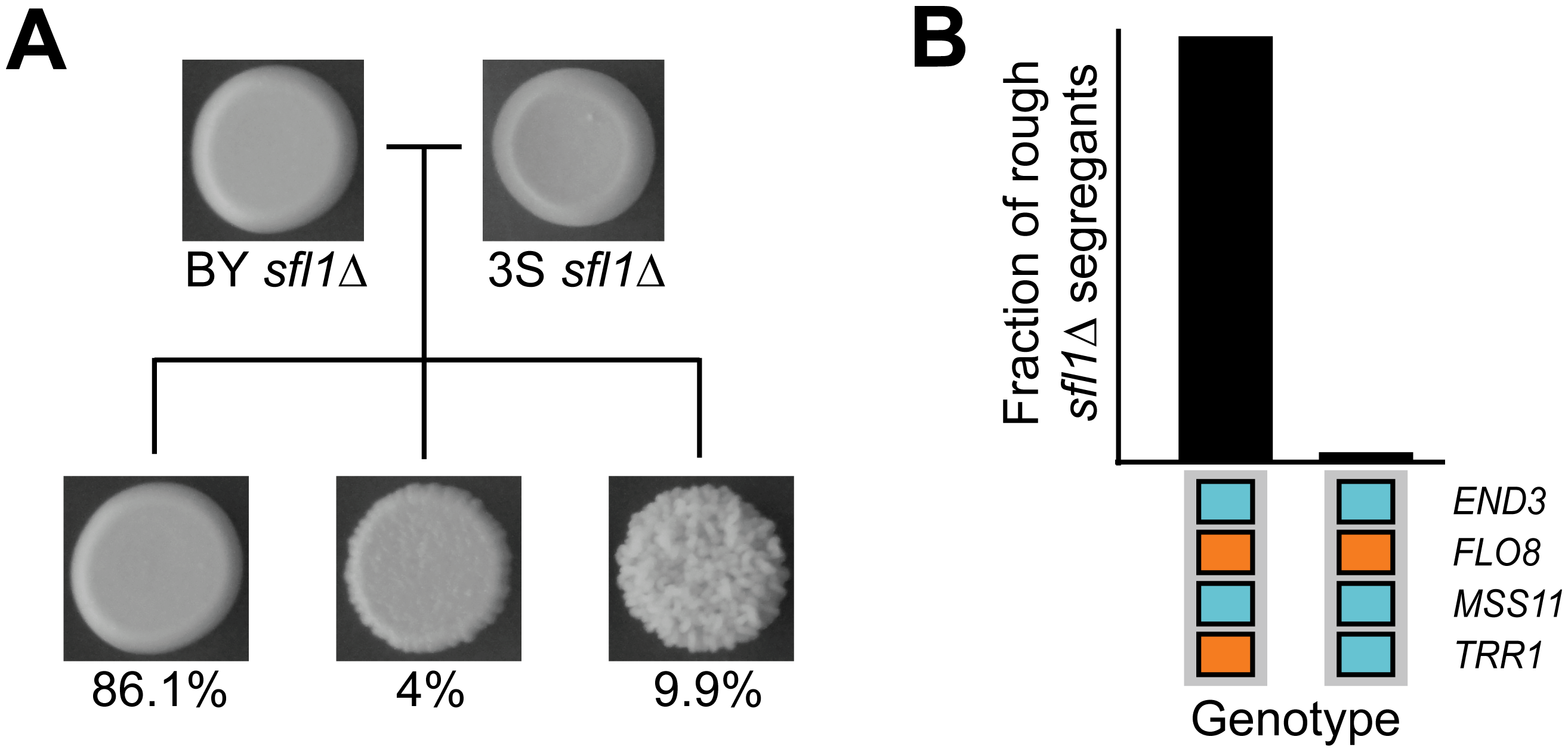 Deletion of <i>SFL1</i> reveals interacting cryptic variants.