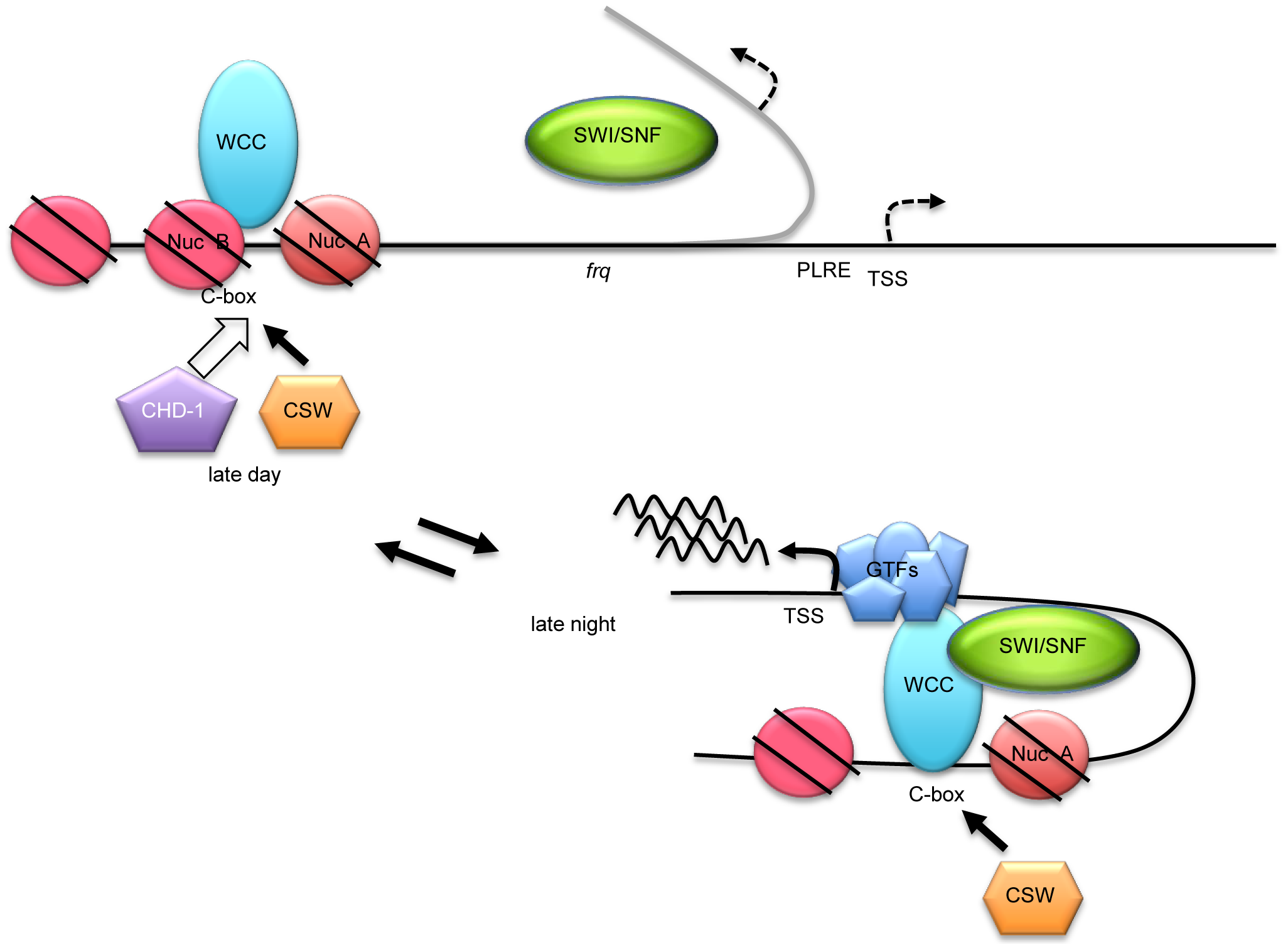 A working model for WC-1-dependent recruitment of SWI/SNF to initiate <i>frq</i> transcription.