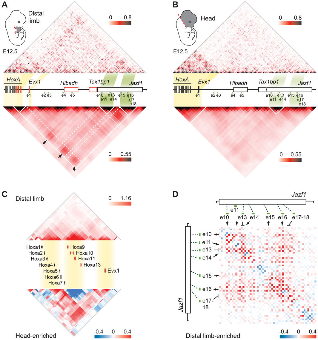 Extensive clustering of genes and enhancers highlights a complex regulation network in distal limbs.