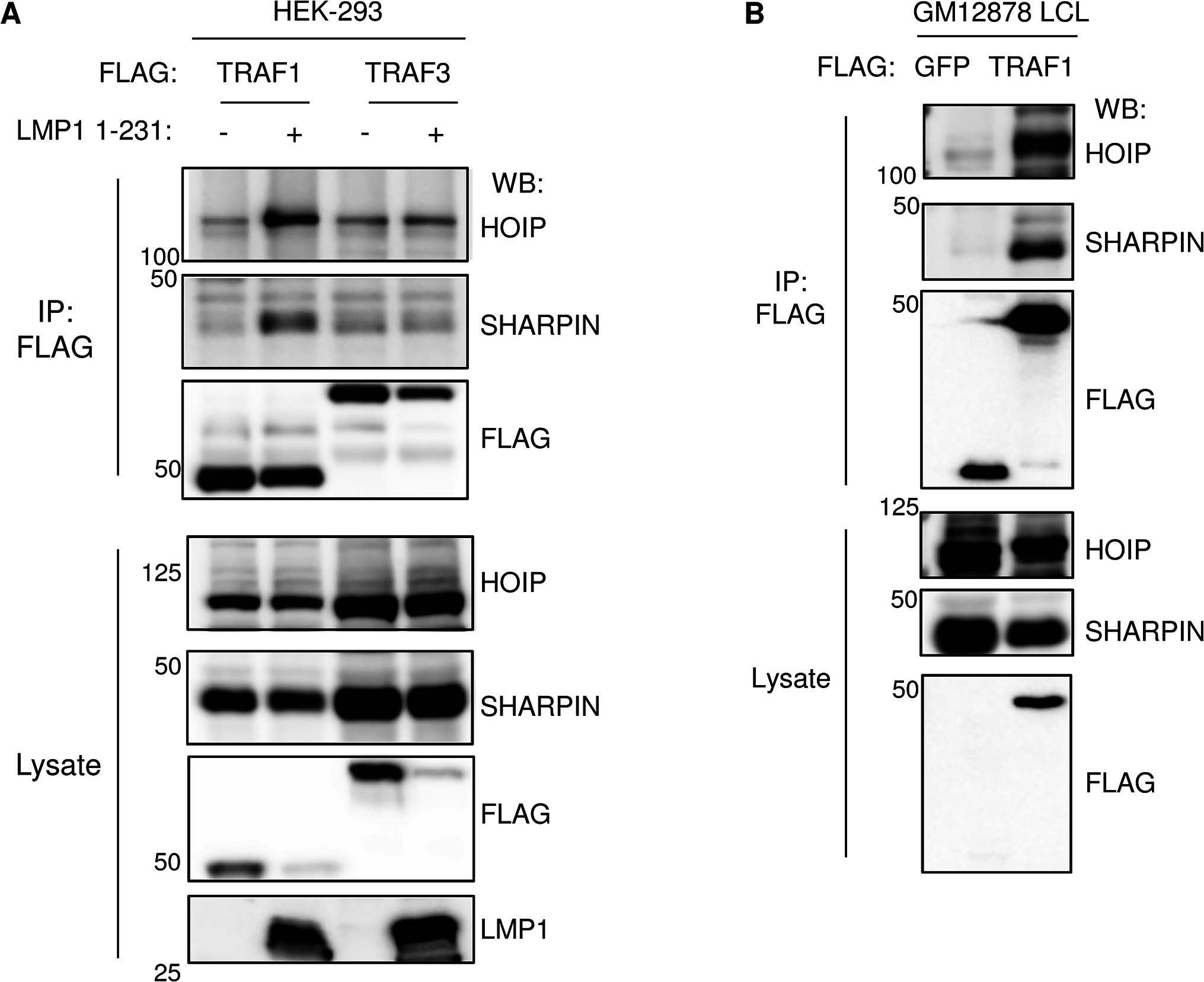 TRAF1 and LUBAC associate in LMP1-stimulated cells.