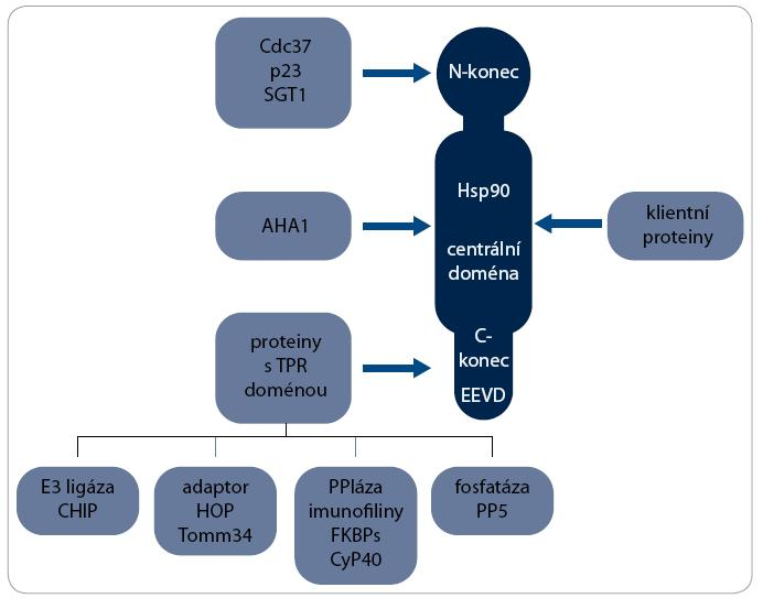 Interakční partneři Hsp90. S molekulou Hsp90 interaguje řada proteinů. K vazbě klientních proteinů dochází v centrální doméně, zatímco ko-chaperony se vážou na všechny domény Hsp90. S motivem EEVD v C-koncové doméně interaguje heterogenní skupina ko-chaperonů obsahujících TPR doménu, které plní různé biologické funkce, např. E3 ubikvitin ligázy, adaptorového proteinu, peptidilylprolyl cis/trans-izomerázy (PPIáza) nebo protein fosfatázy.