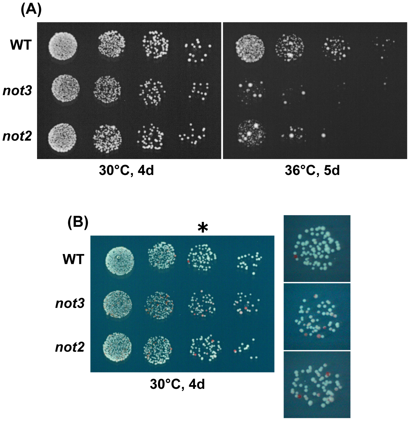 Characterization of chromosome 3 disomes of the CCR4-NOT mutants.