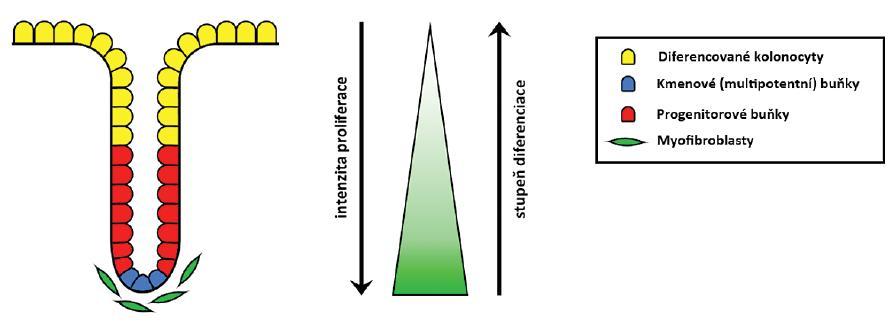 Schéma krypty kolorektální sliznice. Z kmenových buněk v bázi krypty vznikají progenitorové buňky, které stoupají apikálně, dále se dělí a diferencují ve zralé epiteliální buňky kolon pokrývající horní třetinu krypty. Ty se na vrcholu krypty odlučují a jsou nahrazeny buňkami mladšími. Dělení a dediferencovaný charakter kmenových a progenitorových buněk určuje aktivita Wnt signalizace, která apikálním směrem klesá (gradient znázorněn zeleně). Zdrojem Wnt glykolipoproteinů jsou myofibroblasty sídlící pod bazí krypty.