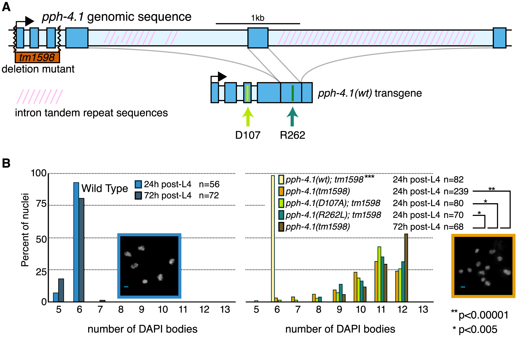 Mutations in the <i>pph-4.1</i> gene lead to loss of chiasmata.