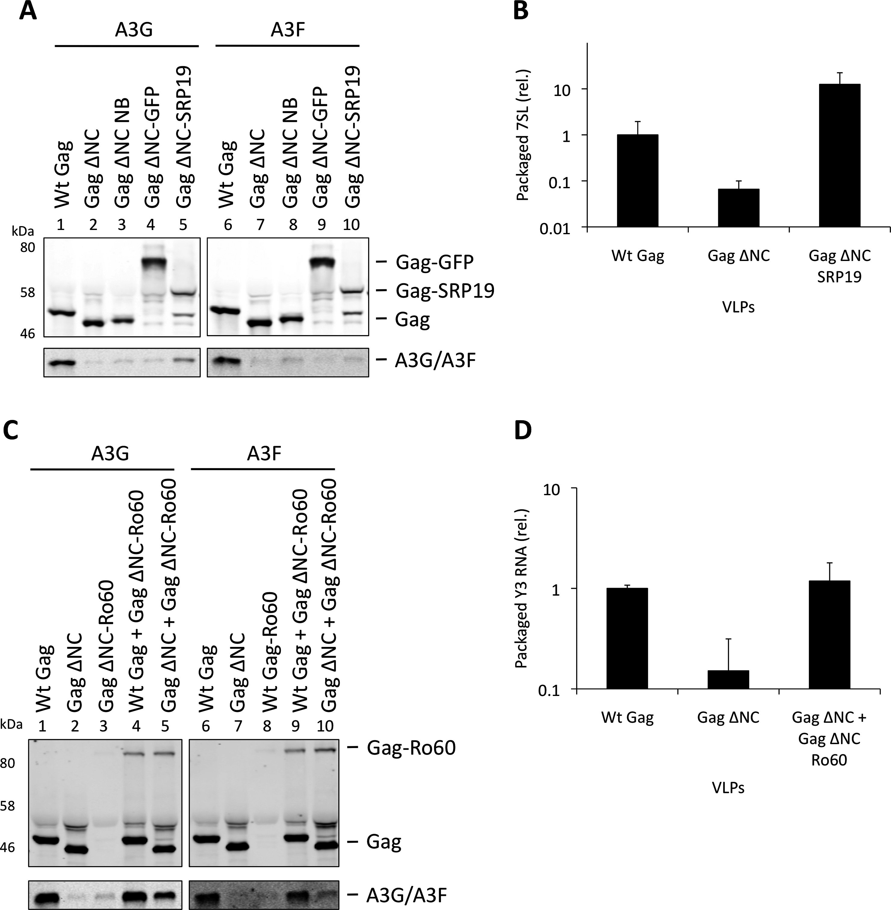Incorporation of A3G and A3F into Gag-SRP19 and Gag-Ro60 containing VLPs. (A)