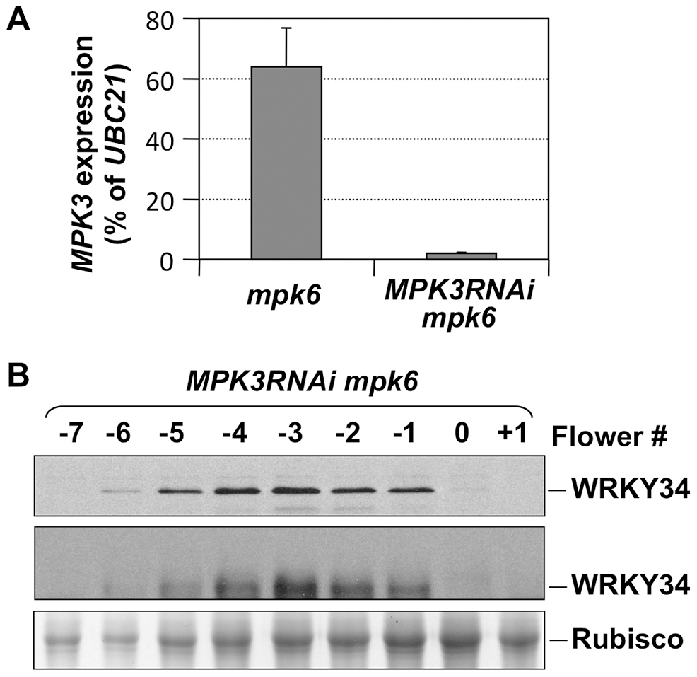 <i>In vivo</i> phosphorylation of WRKY34 is dependent on MPK3 and MPK6.