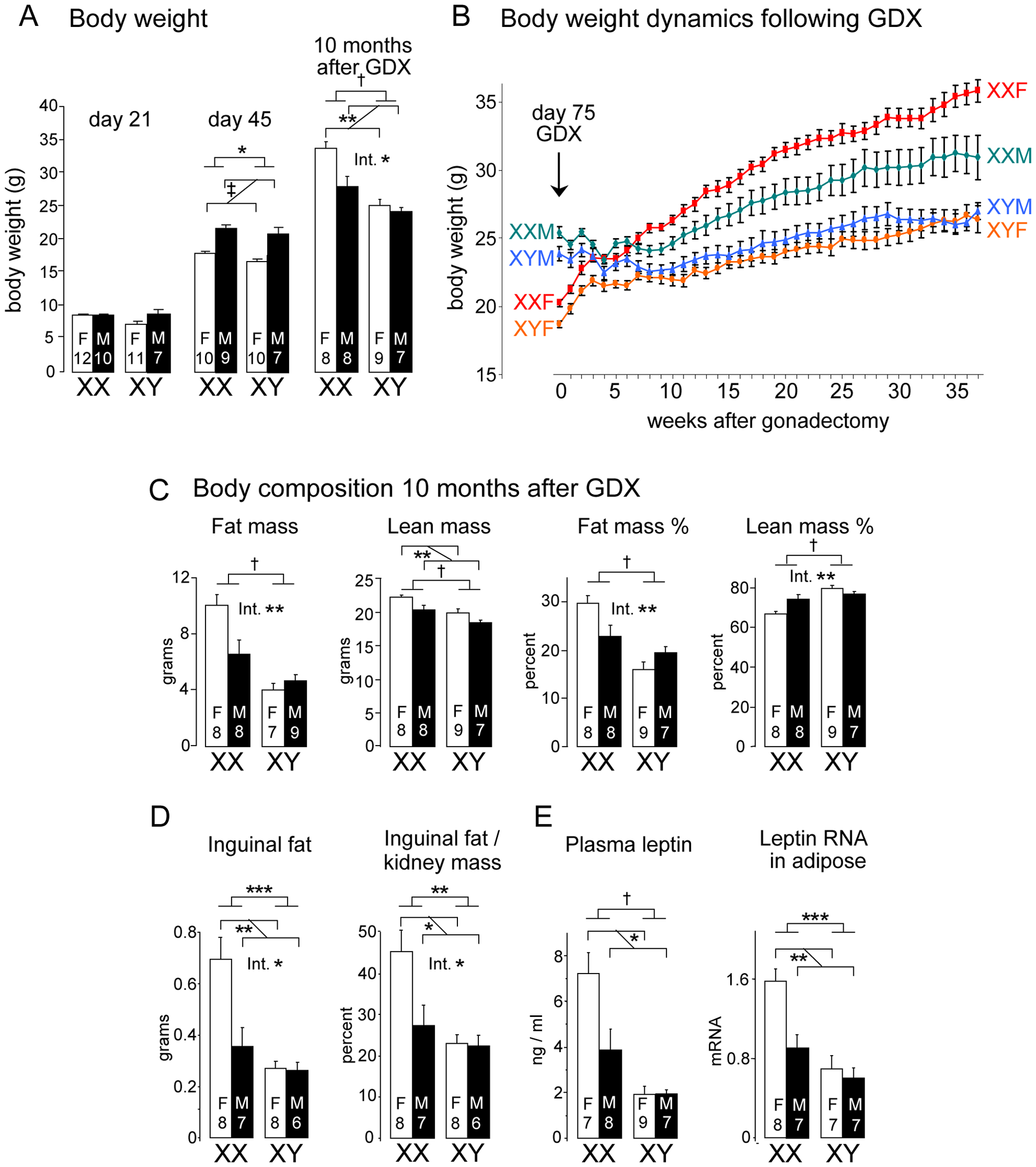 Increased body weight and fat mass in XX versus XY mice on a chow diet.