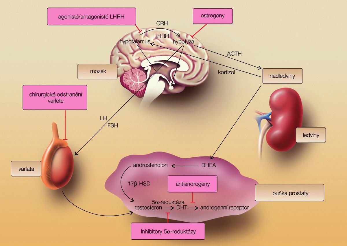 Hypothalamo-hypofyzární testikulární osa (převzato zRemedia 2010 (3)) Fig. 1. Axis hypothalamus-hypophysis – testis (from Remedia with permission)