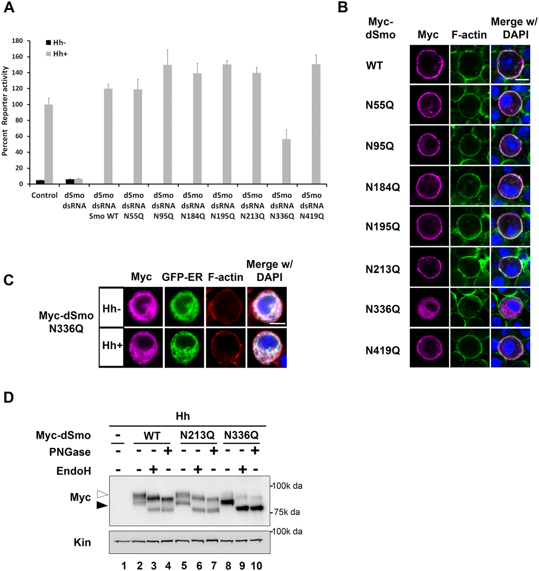 N336Q impacts dSmo trafficking and activity.