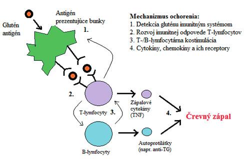 Patogenéza celiakie. Antigén prezentujúce bunky rozpoznajú lepok, čo vedie  k vyvolaniu odpovede T-buniek, ku kostimulácii T- a B-buniek a k následnej produkcii autoprotilátok a zápalových cytokínov, čo zapríčiňuje črevný zápal.