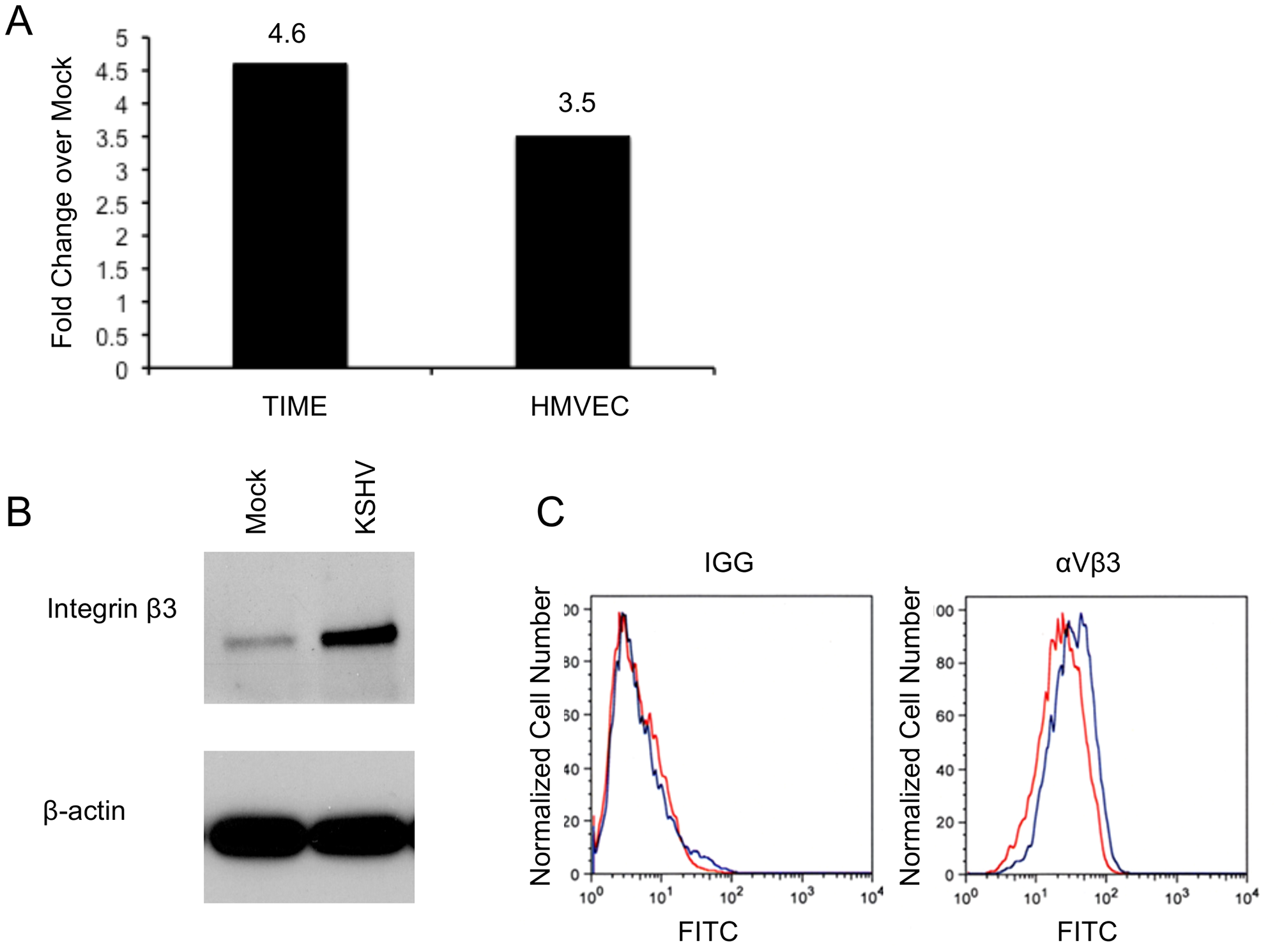 KSHV latent infection increases integrin β3 expression.