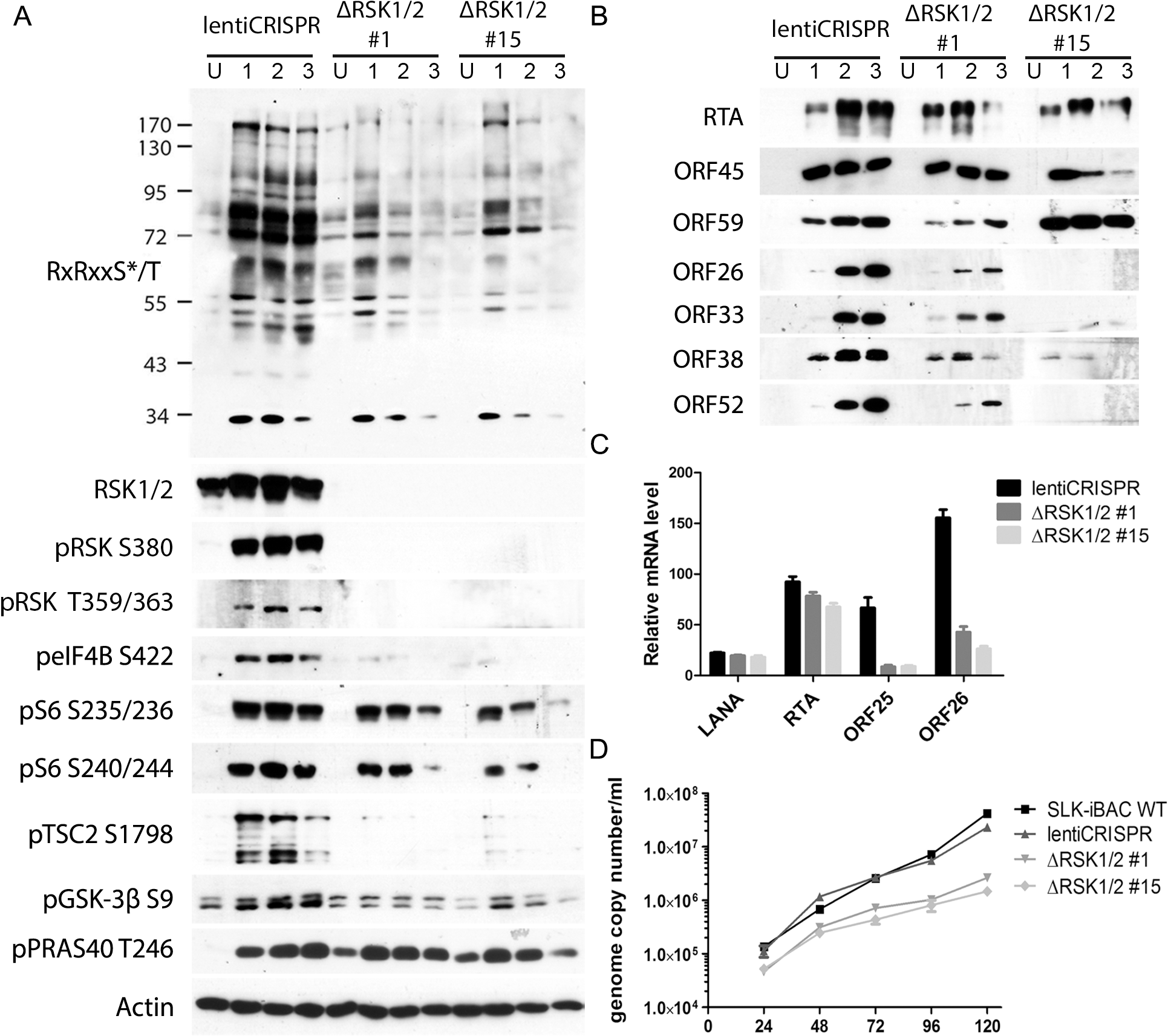 CRISPR/Cas9-mediated knockout of RSK1/2 results in the reduction of RSK substrate phosphorylation, viral late lytic gene expression, and virion production.