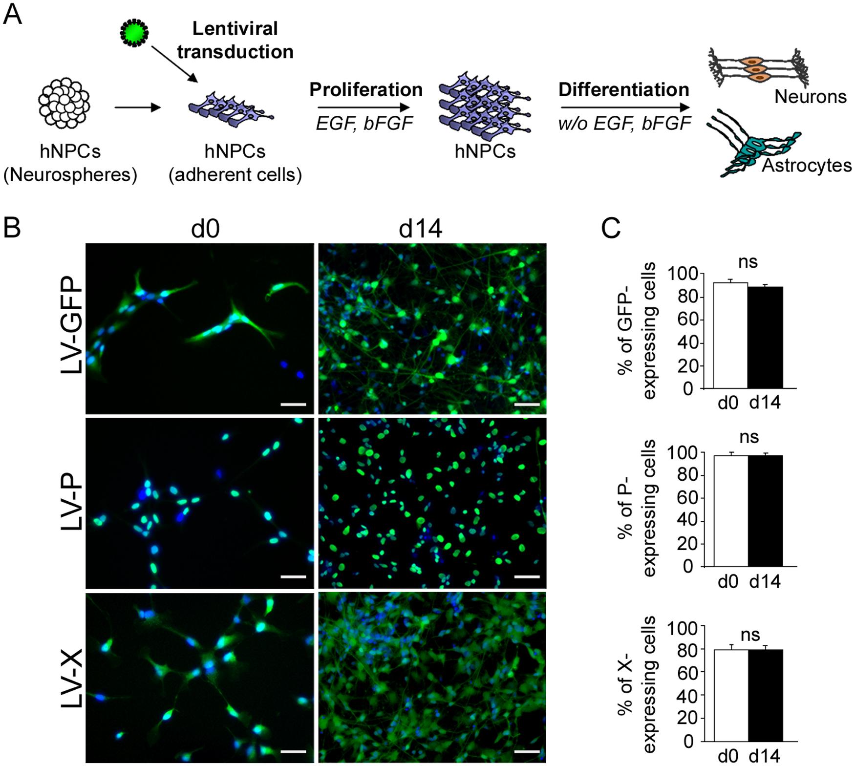 Lentiviral transduction and establishment of transgenic hNPCs.