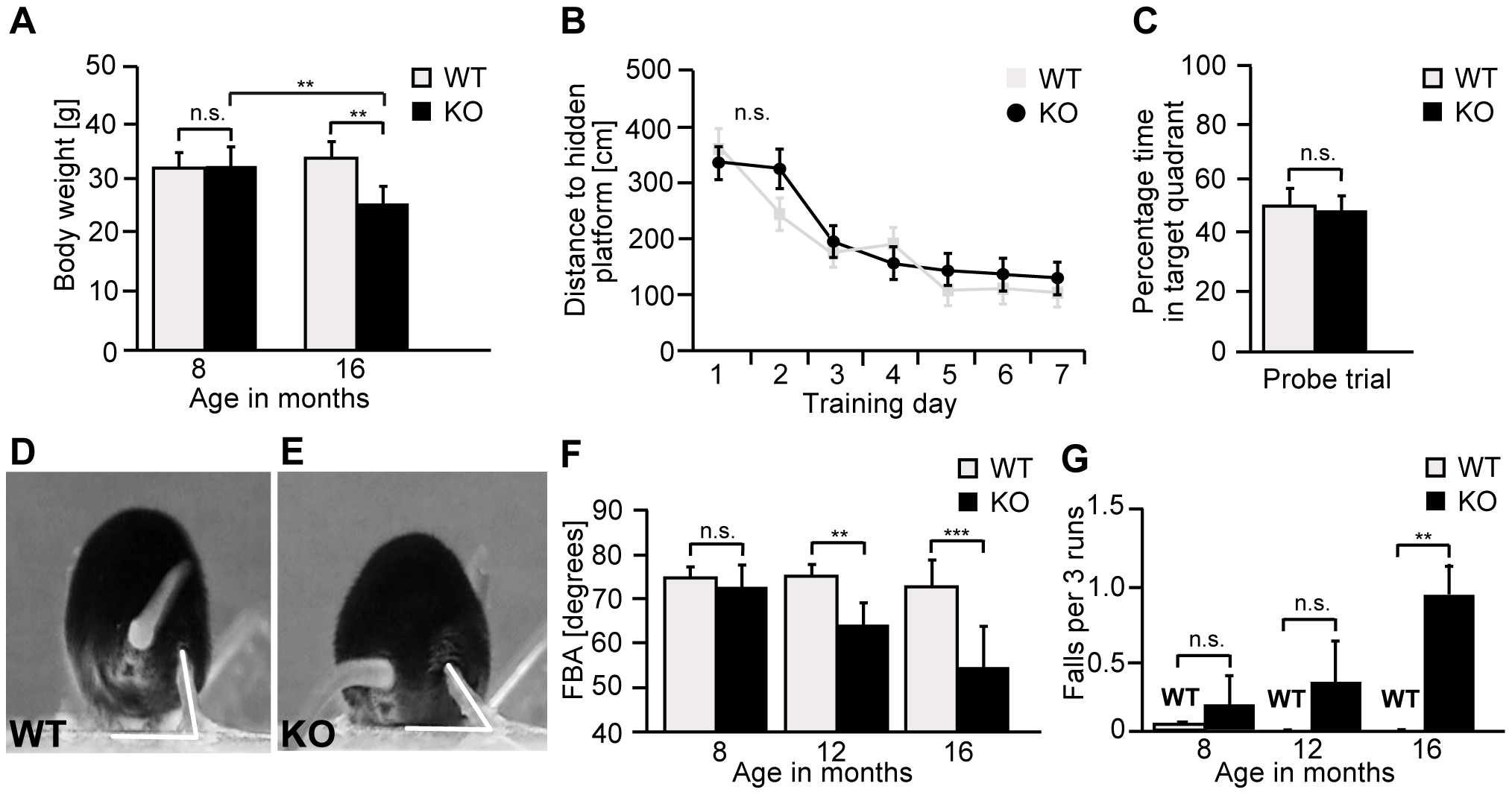 <i>Zfyve26</i> knockout mice develop a progressive spastic and ataxic gait disorder.