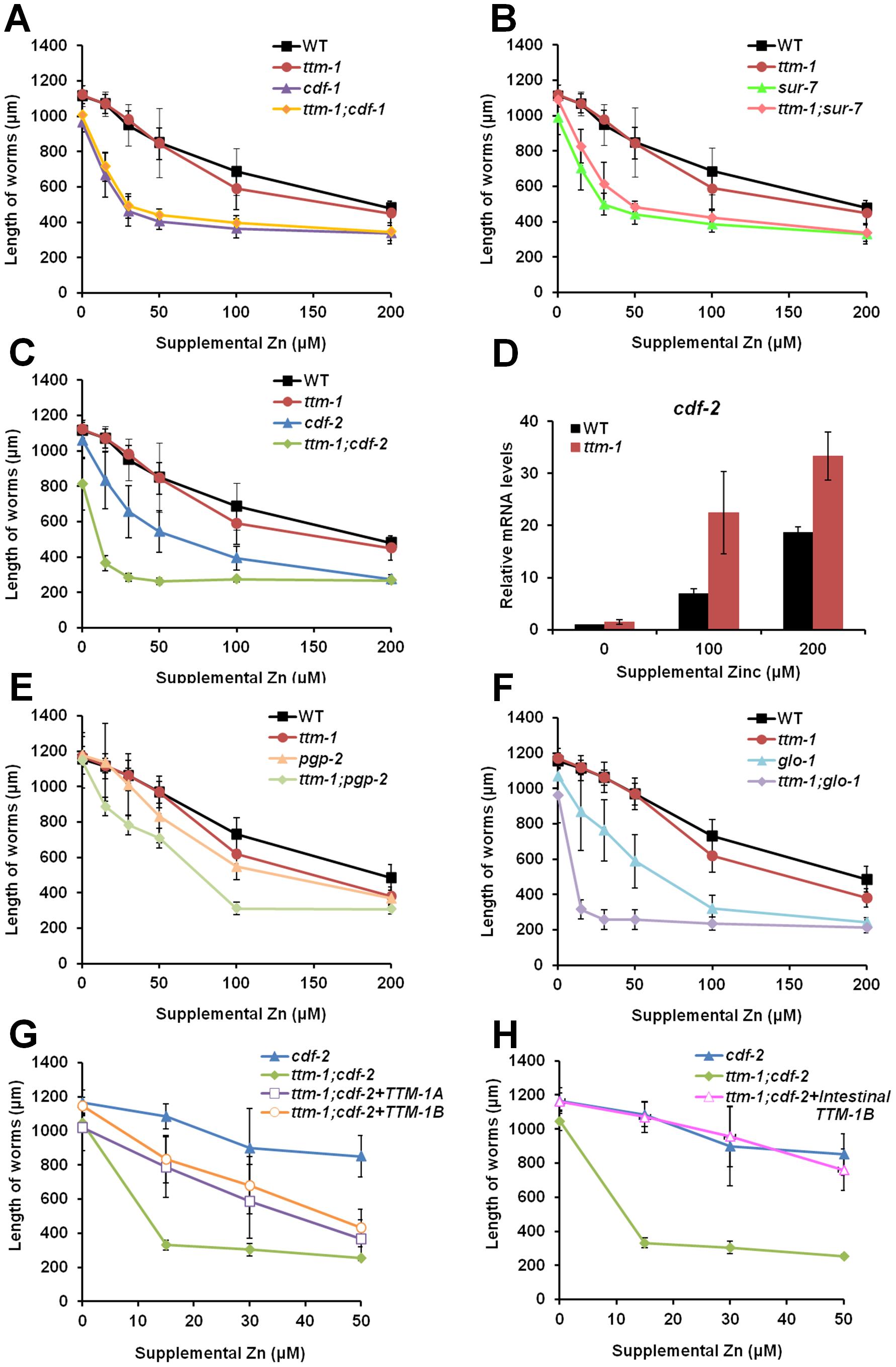 Role of <i>ttm-1</i> in zinc detoxification.