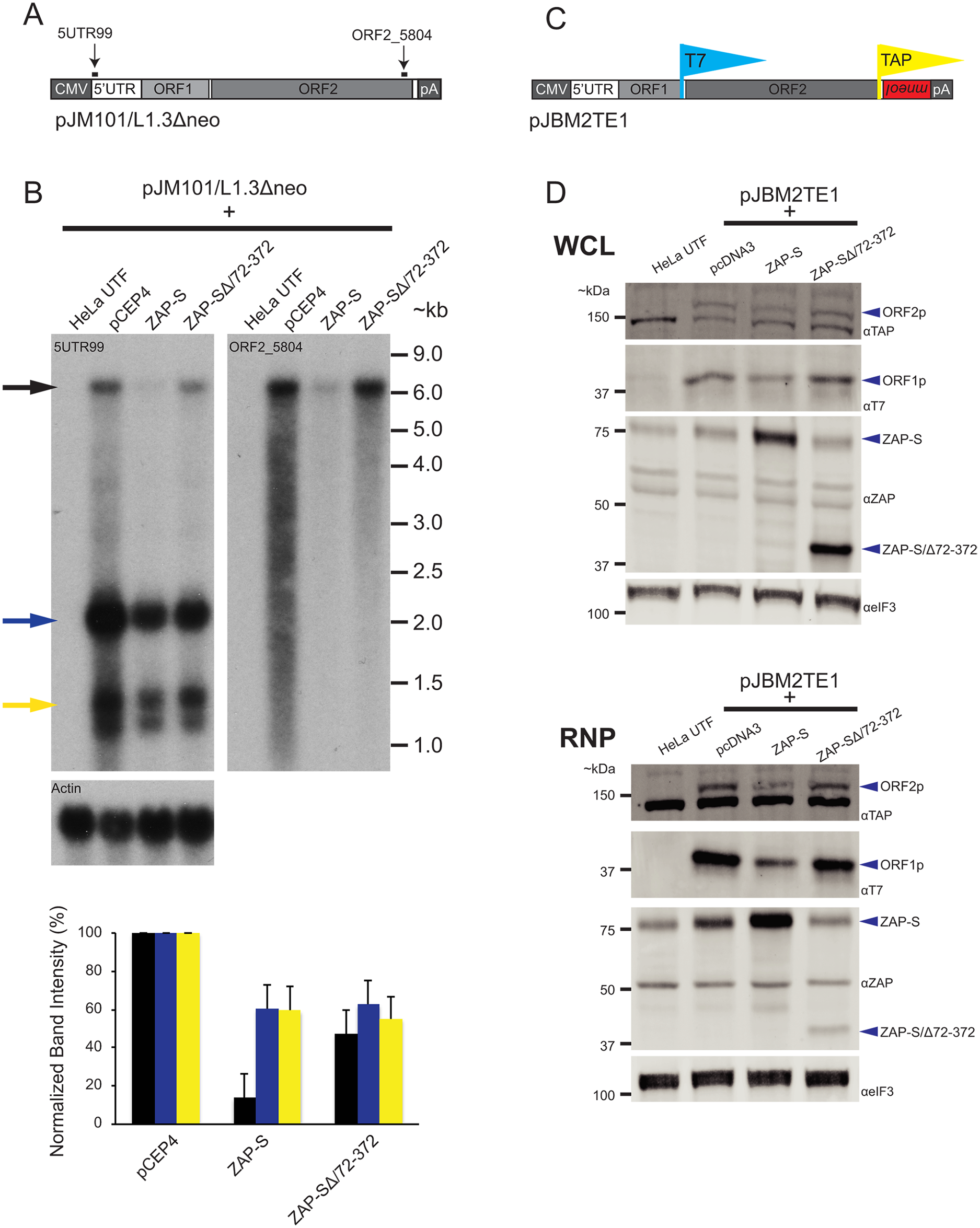The effect of ZAP-S on L1 RNA and L1 protein expression.