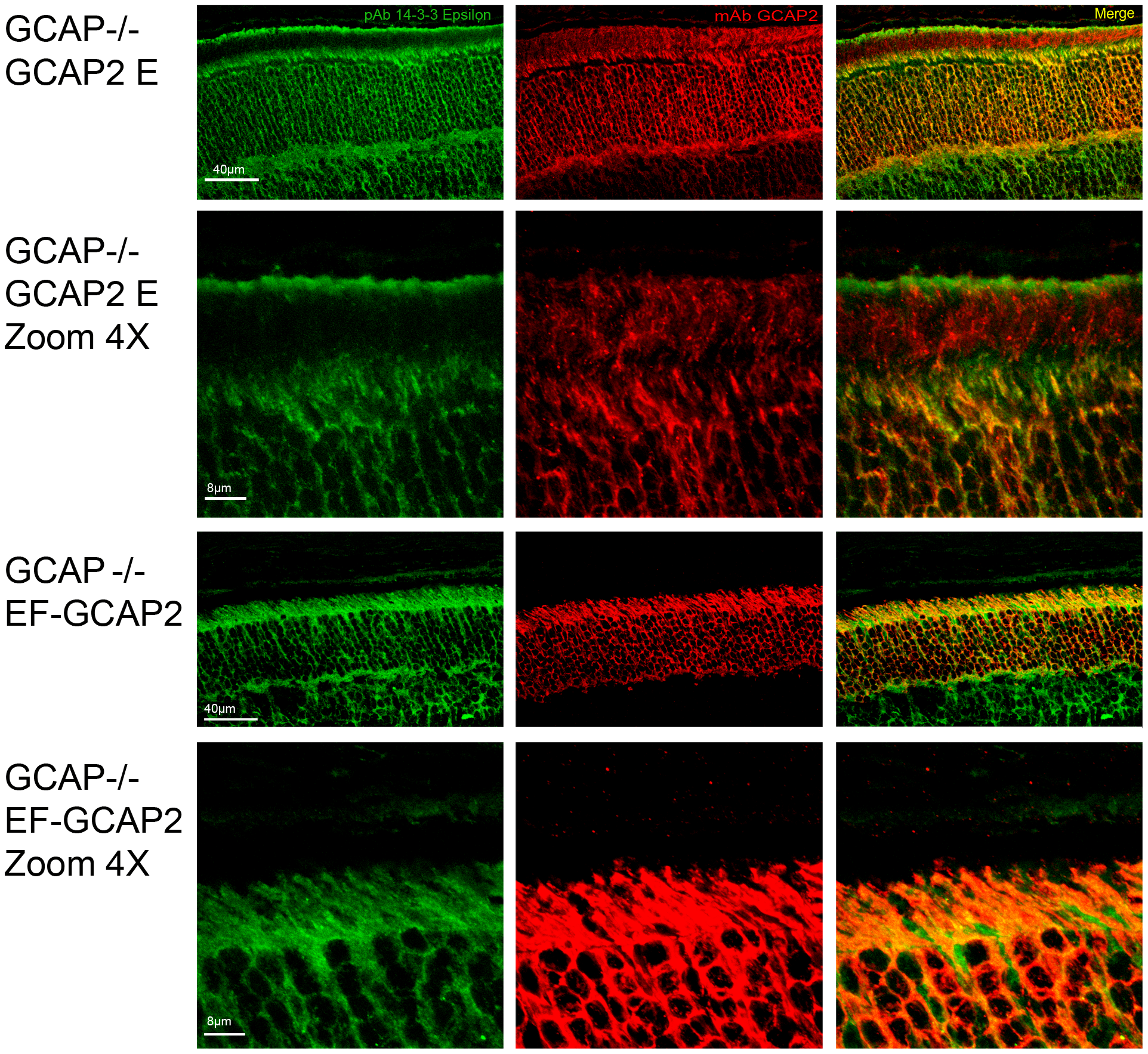 Coimmunolocalization of 14-3-3ε with GCAP2 in retinas from GCAPs−/−bGCAP2 E and GCAPs−/− bEF<sup>−</sup>GCAP2 B mice.