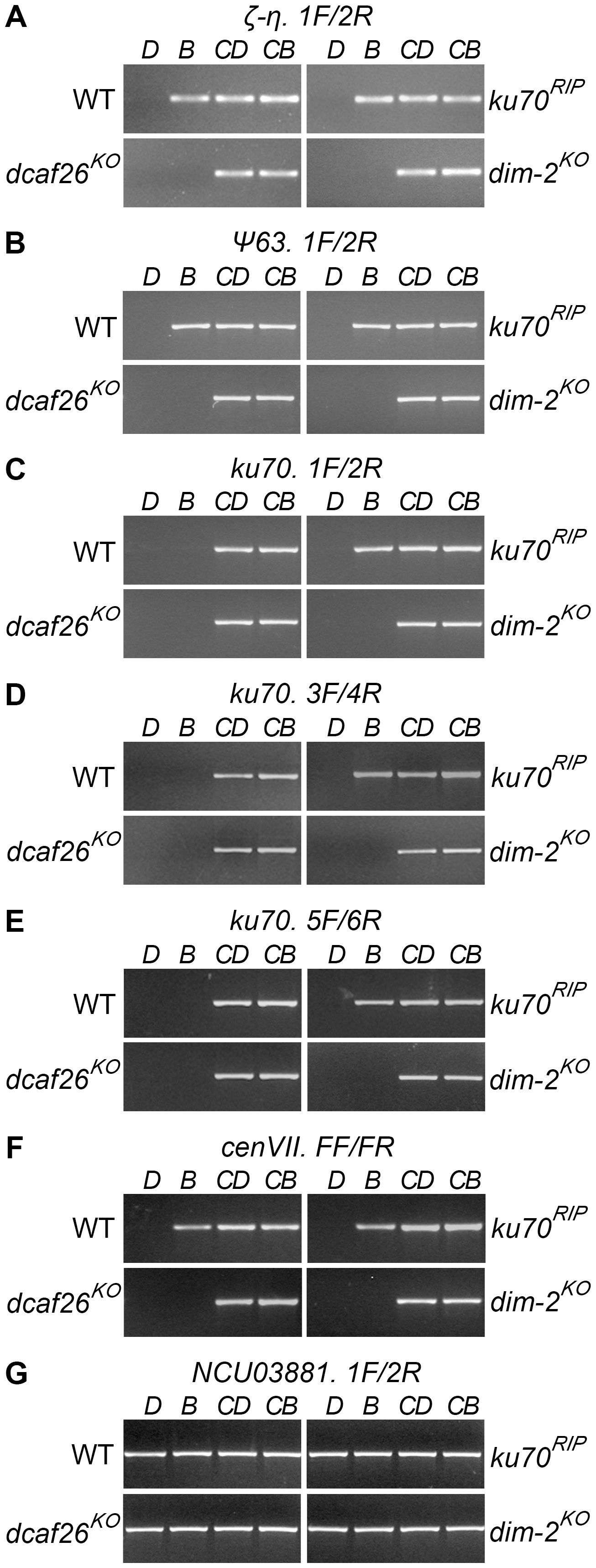 DCAF26 is essential for <i>N. crassa</i> DNA methylation.