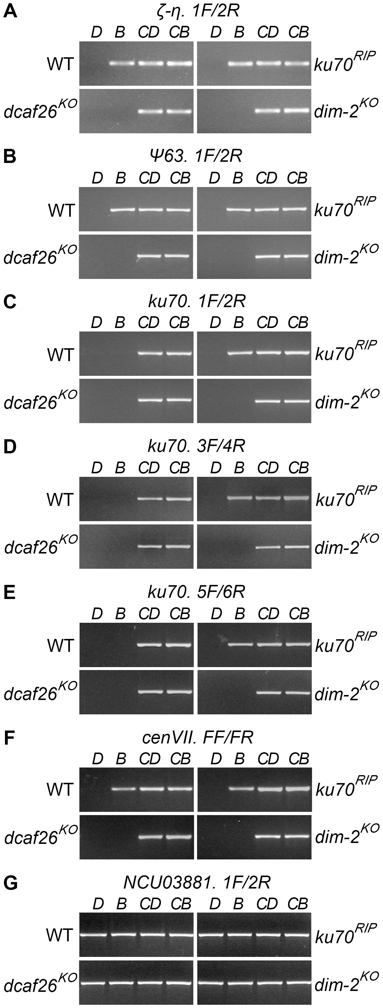 DCAF26 is essential for <i>N. crassa</i> DNA methylation.