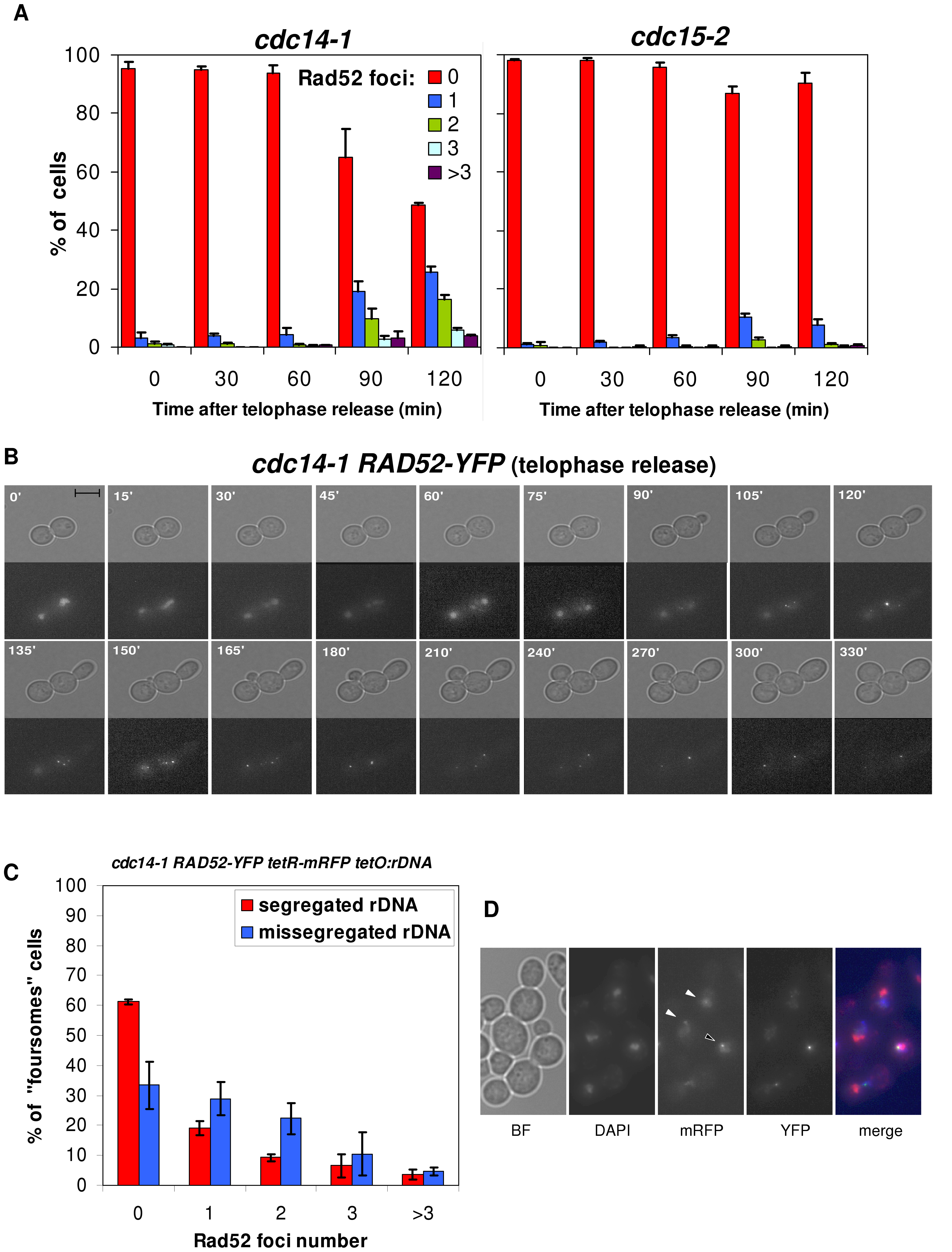 Cells coming from a <i>cdc14-1</i> release frequently form Rad52 repair factories, which accumulate when rDNA missegregation had previously occurred.