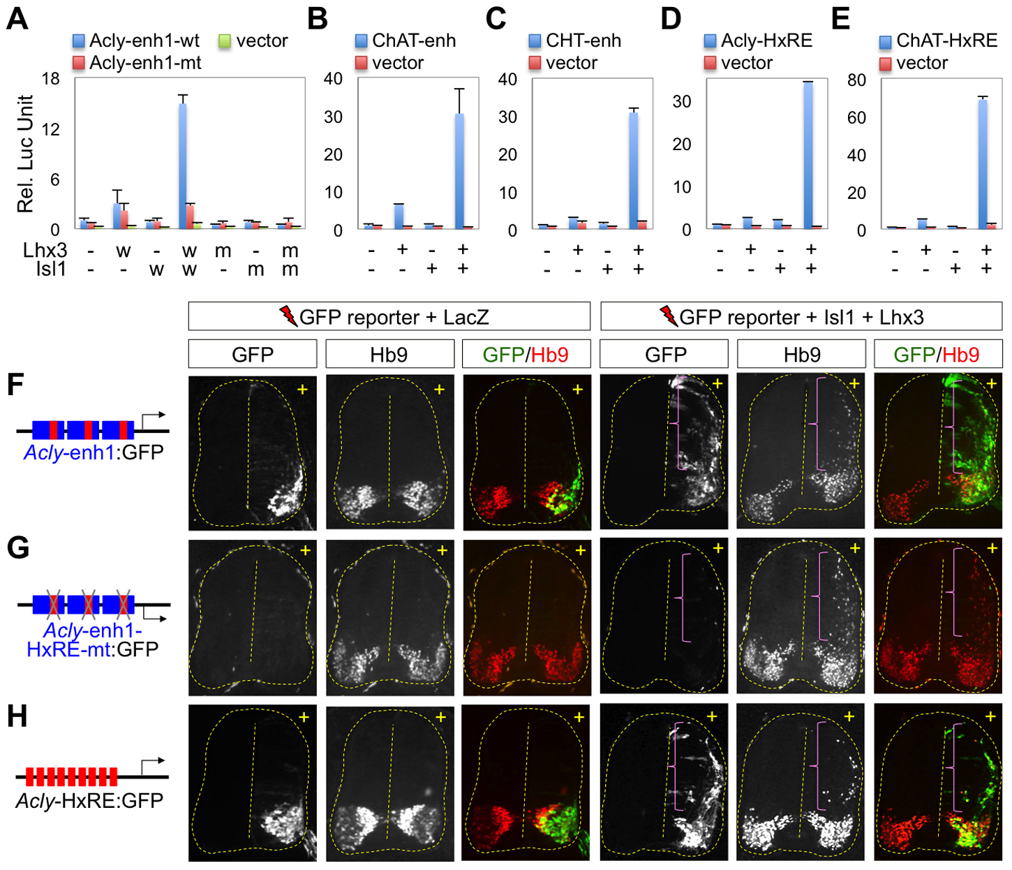 The cholinergic enhancers are activated by the Isl1-Lhx3-hexamer in the developing spinal cord.
