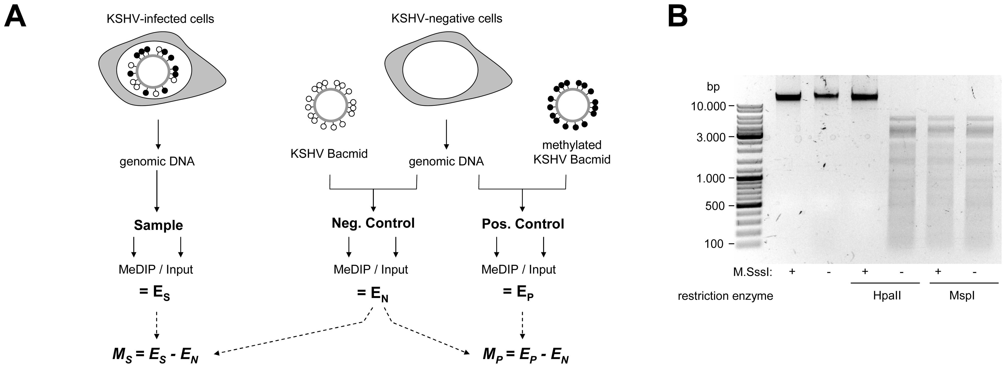 Experimental design of MeDIP analysis.