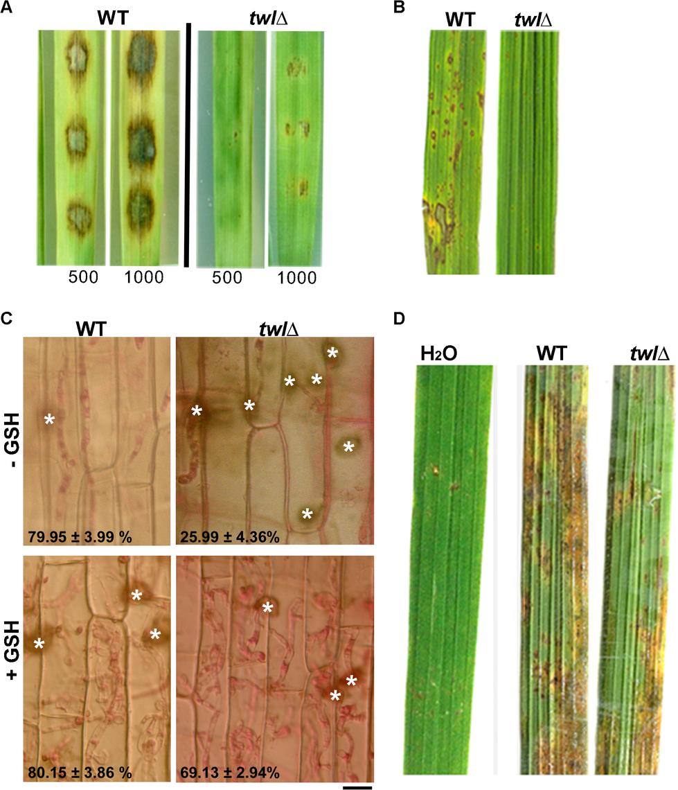 Twl facilitates redox homeostasis during <i>M</i>. <i>oryzae</i> pathogenicity.