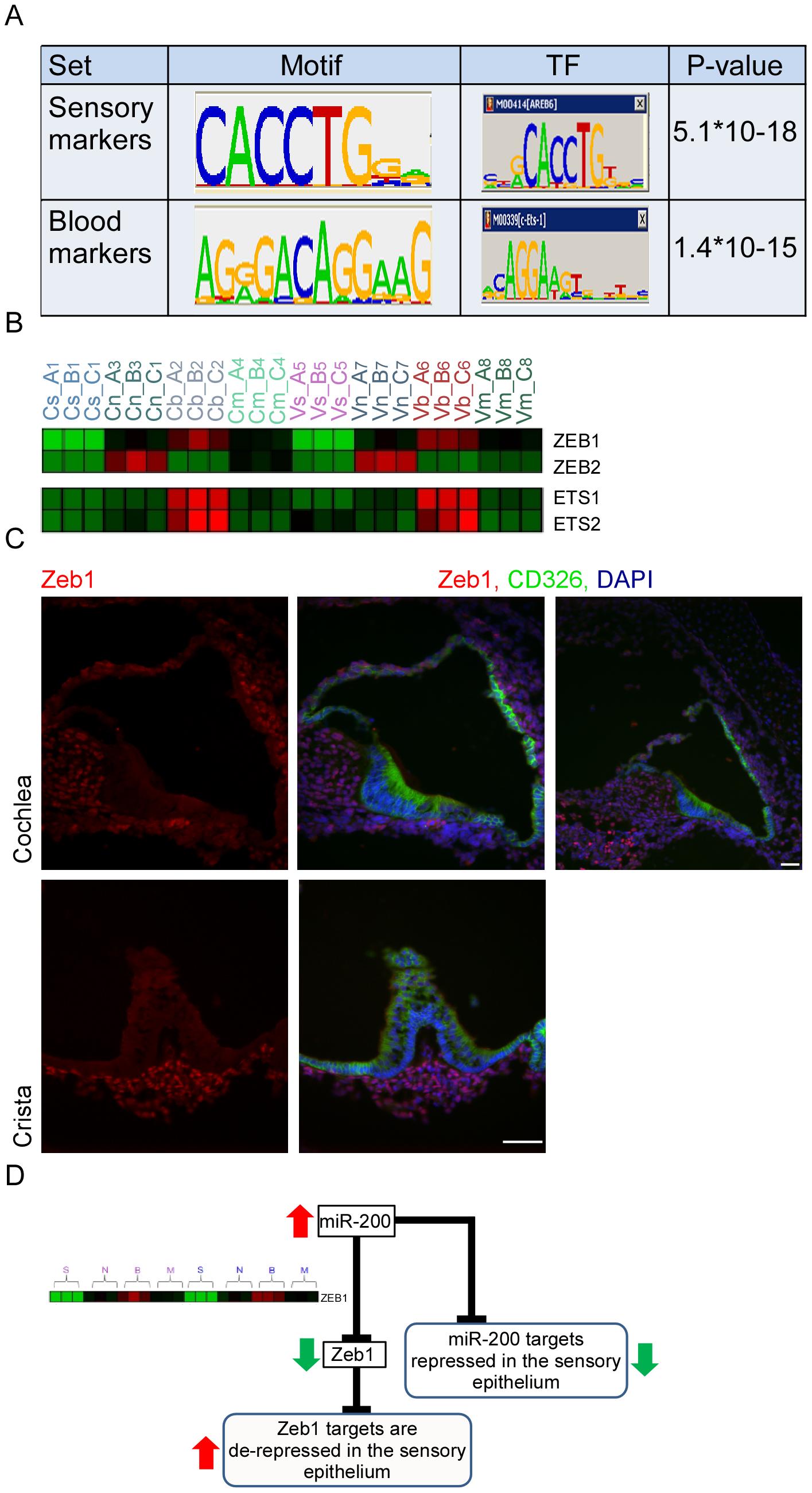 Key regulators of the inner ear transcriptome.