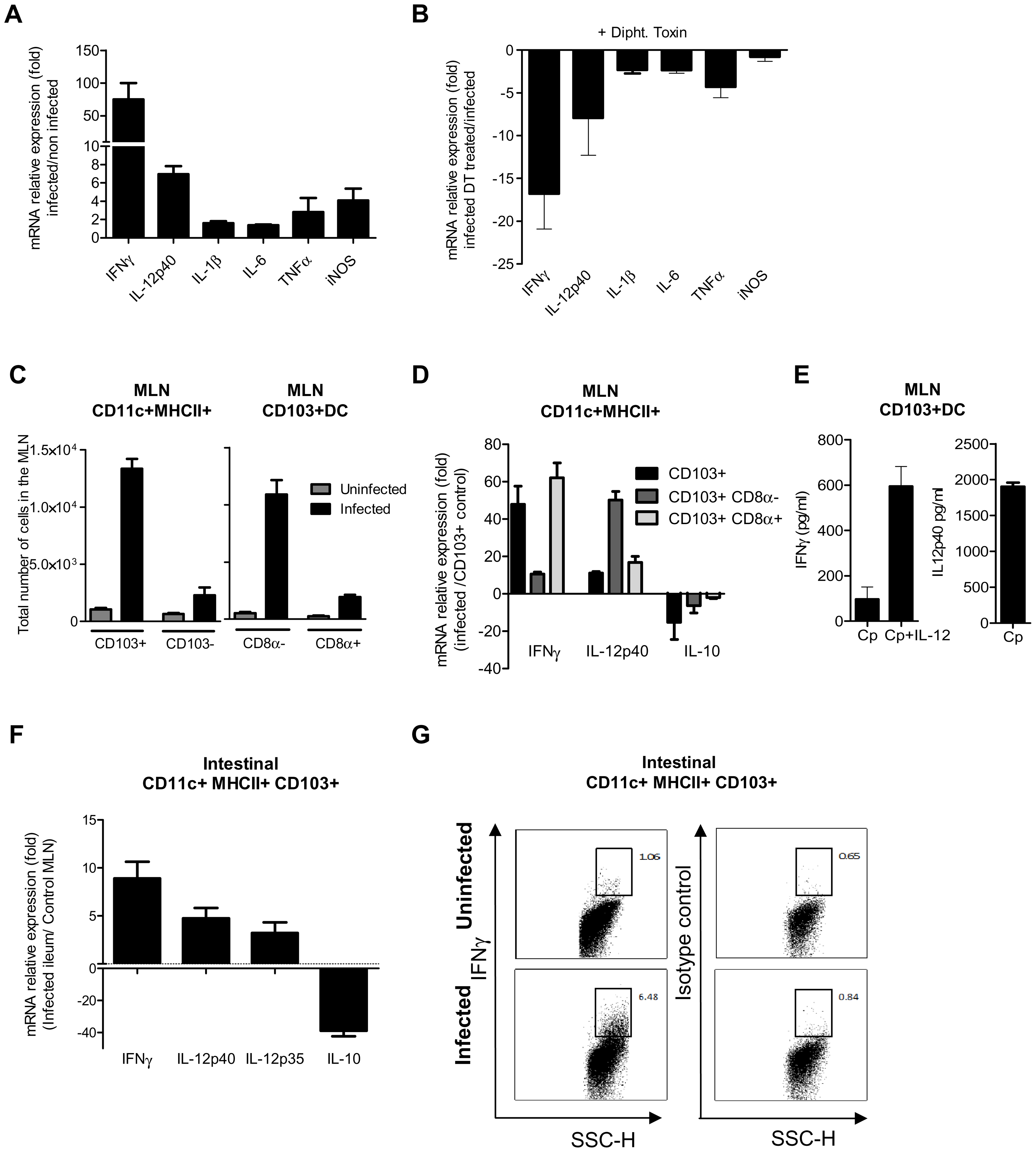 CD103+ dendritic cell subsets contribute to IL-12p40 and IFNγ production.
