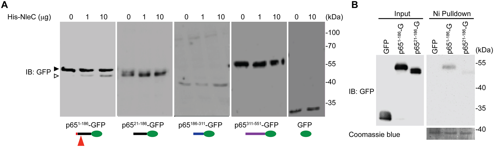 The N-terminal 20 amino acids of p65 are required for NleC to bind and cleave p65.