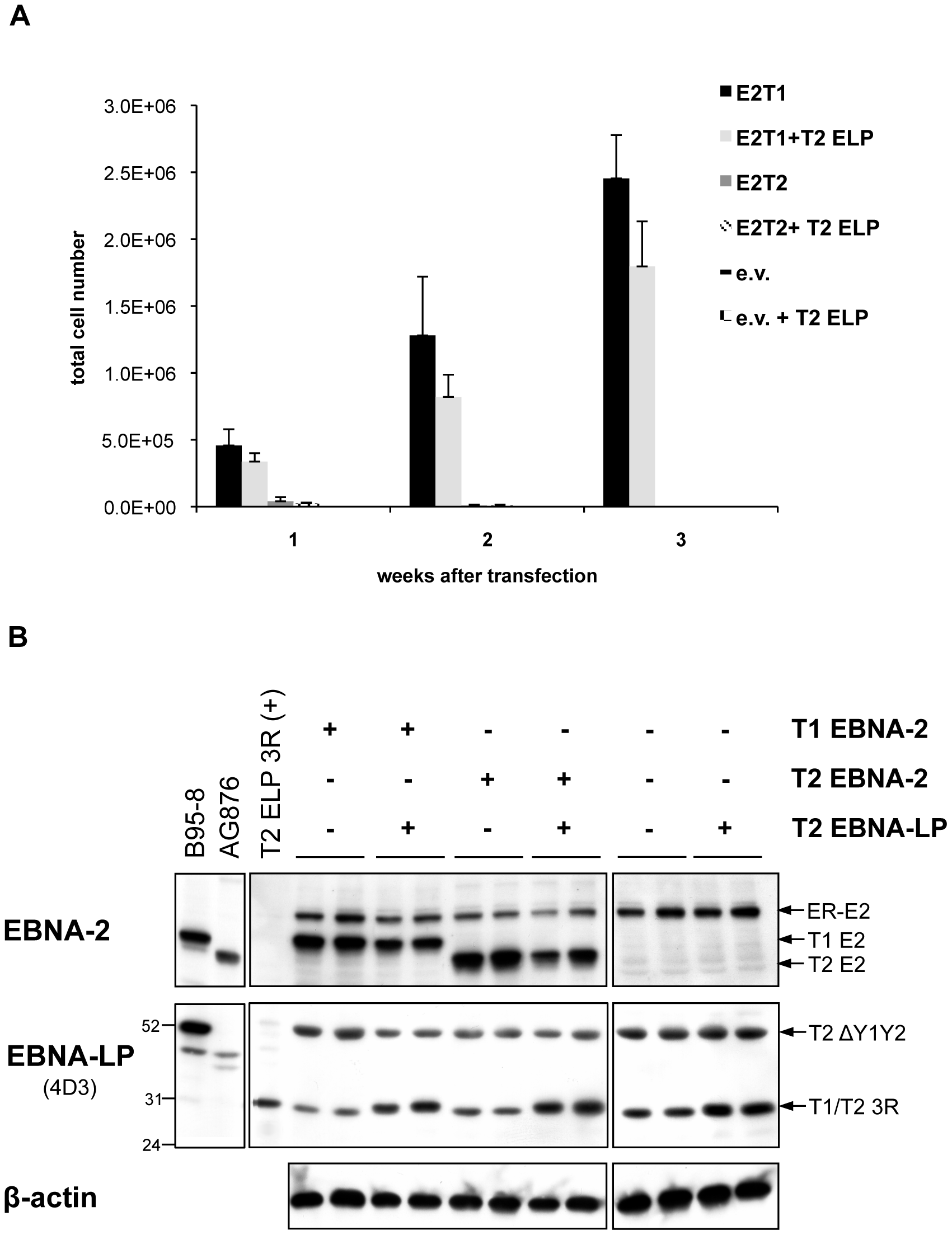 Cooperation between type 1 and type 2 EBNA-2 and EBNA-LP in the EREB2.5 growth system: The assay functionally distinguishes between the ability of type 1 and type 2 EBNA-2 to sustain cell proliferation, regardless the type of EBNA-LP.