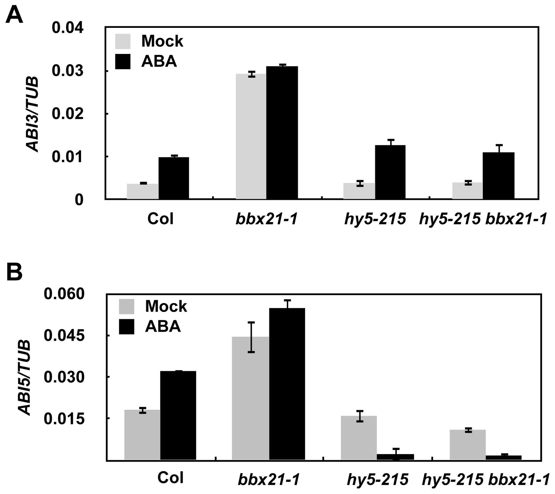 BBX21 regulates the expression of <i>ABI3</i> and <i>ABI5</i>.