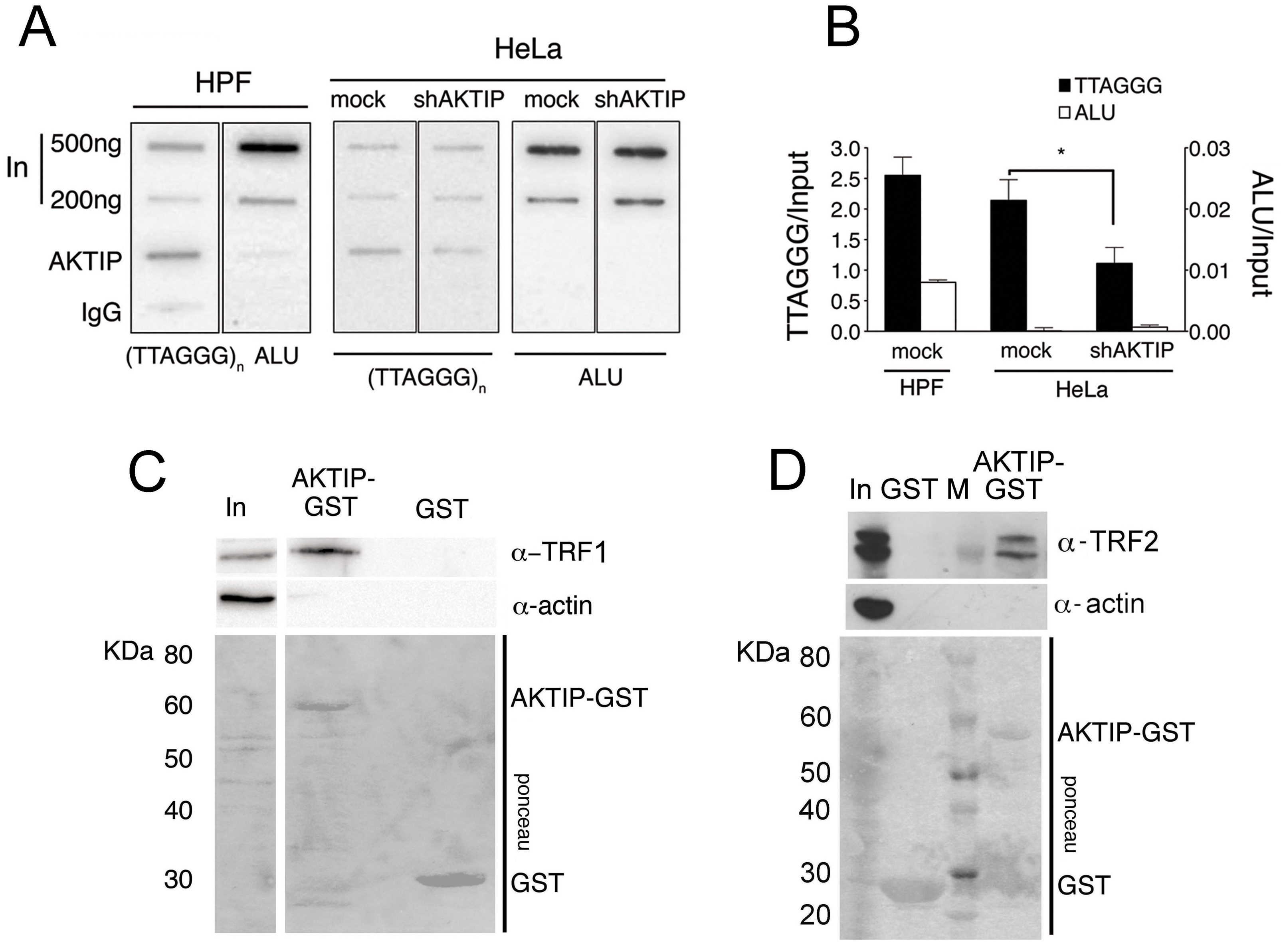 AKTIP interacts with telomeric DNA, TRF1 and TRF2.