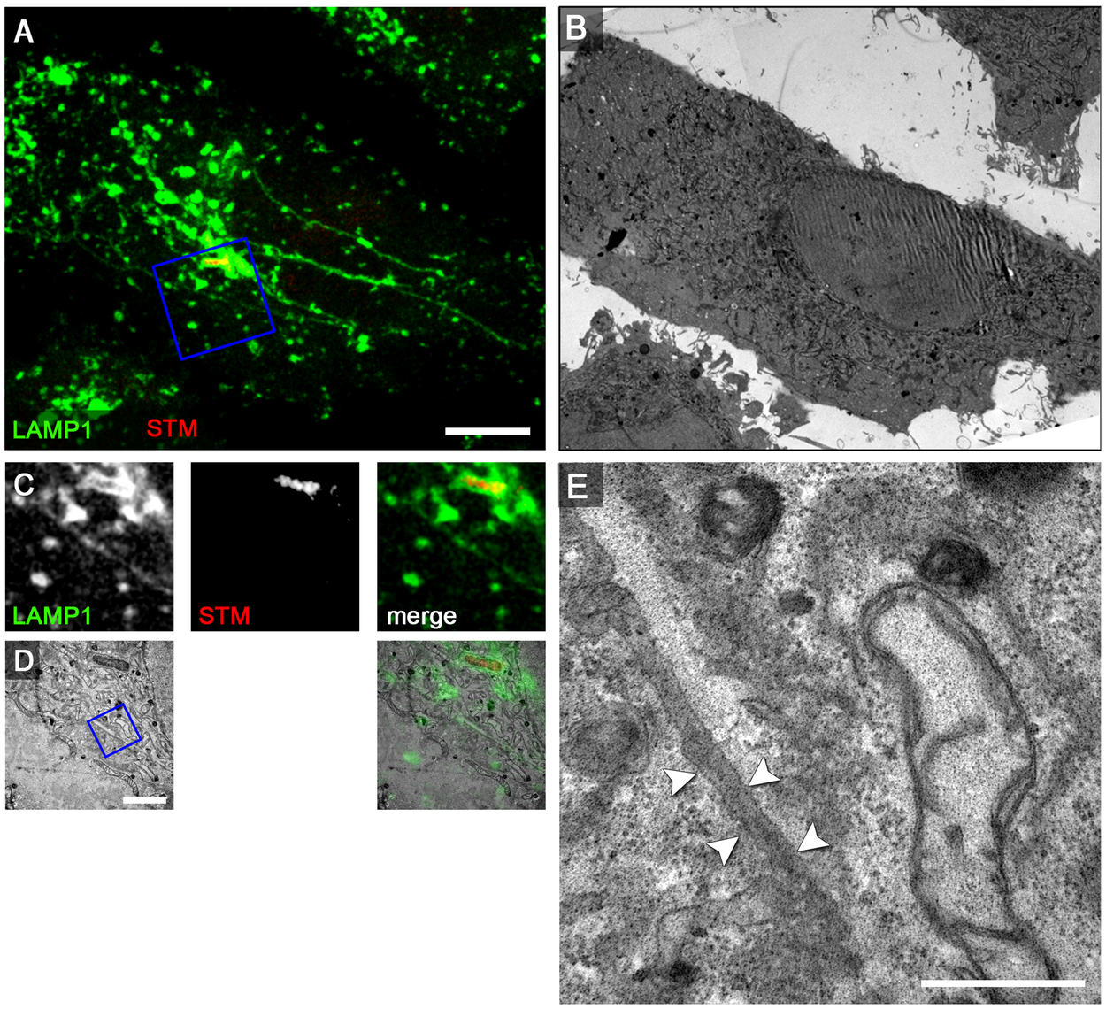 The SPI2-T3SS effector SseF is required for induction of double membrane SIF.