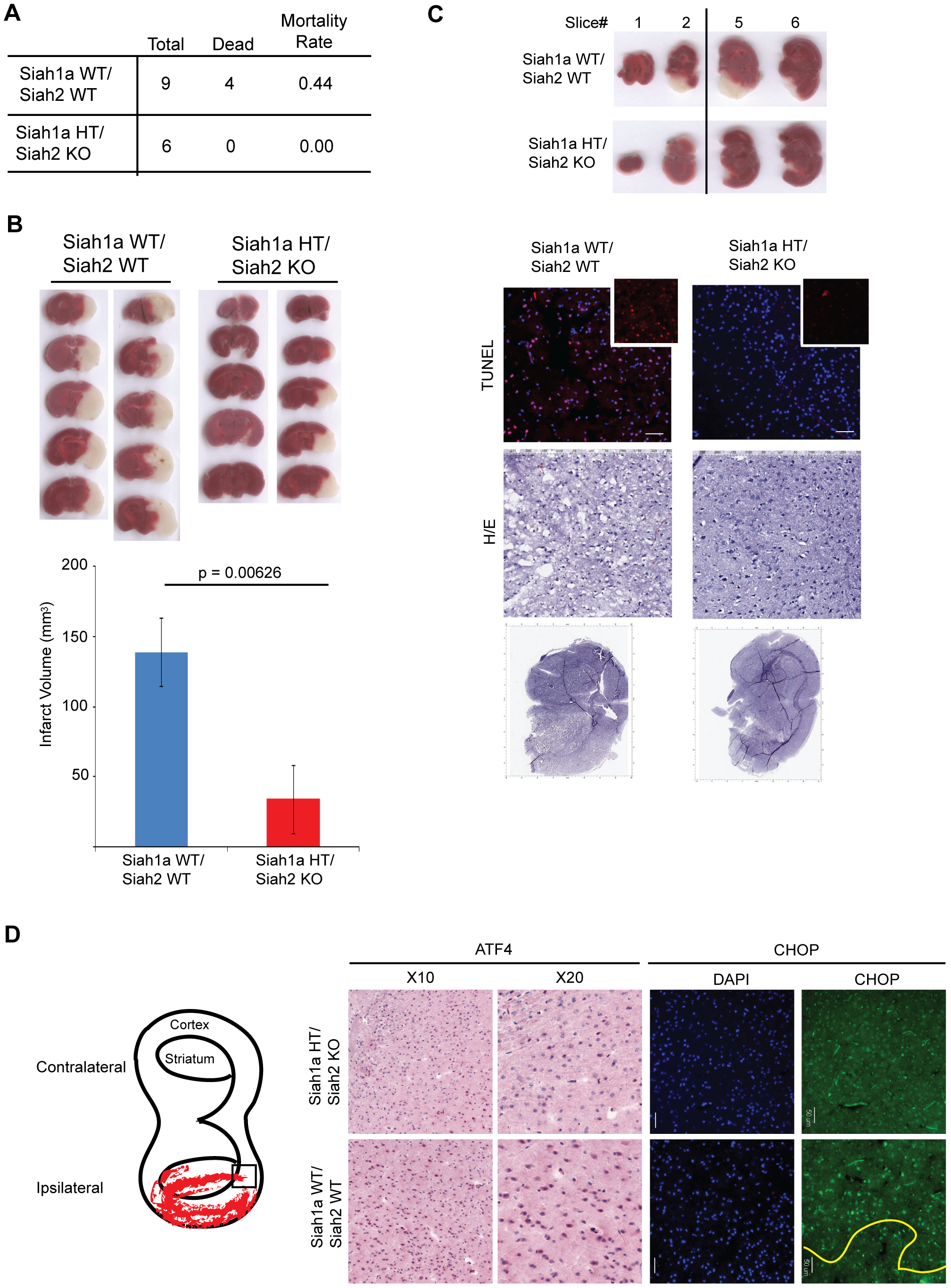 Siah1/2 mutant animals are protected from neuronal ischemia-induced cell death.